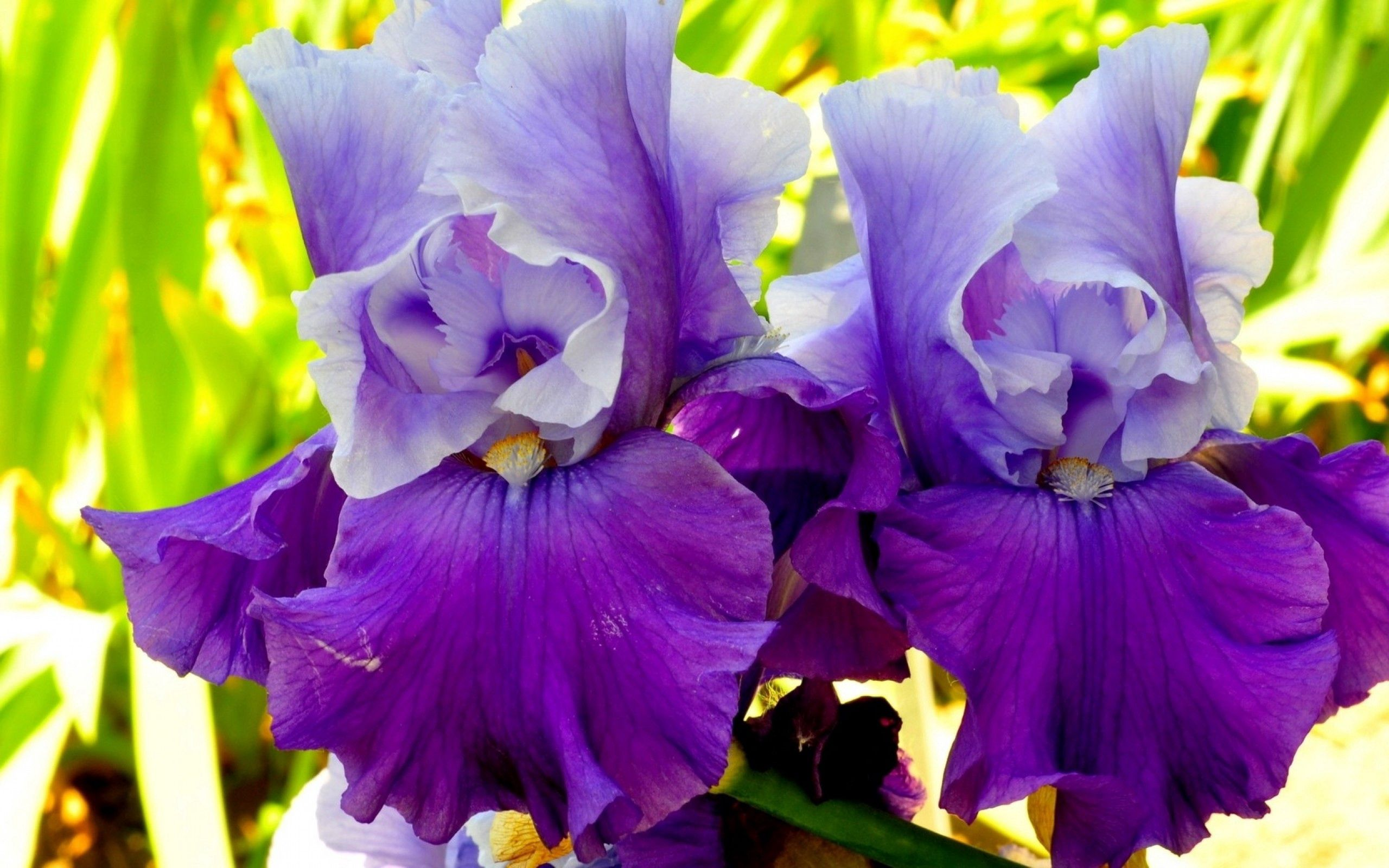 116802 Screensavers and Wallpapers Petals for phone. Download Flowers, Lilac, Macro, Petals, Irises pictures for free