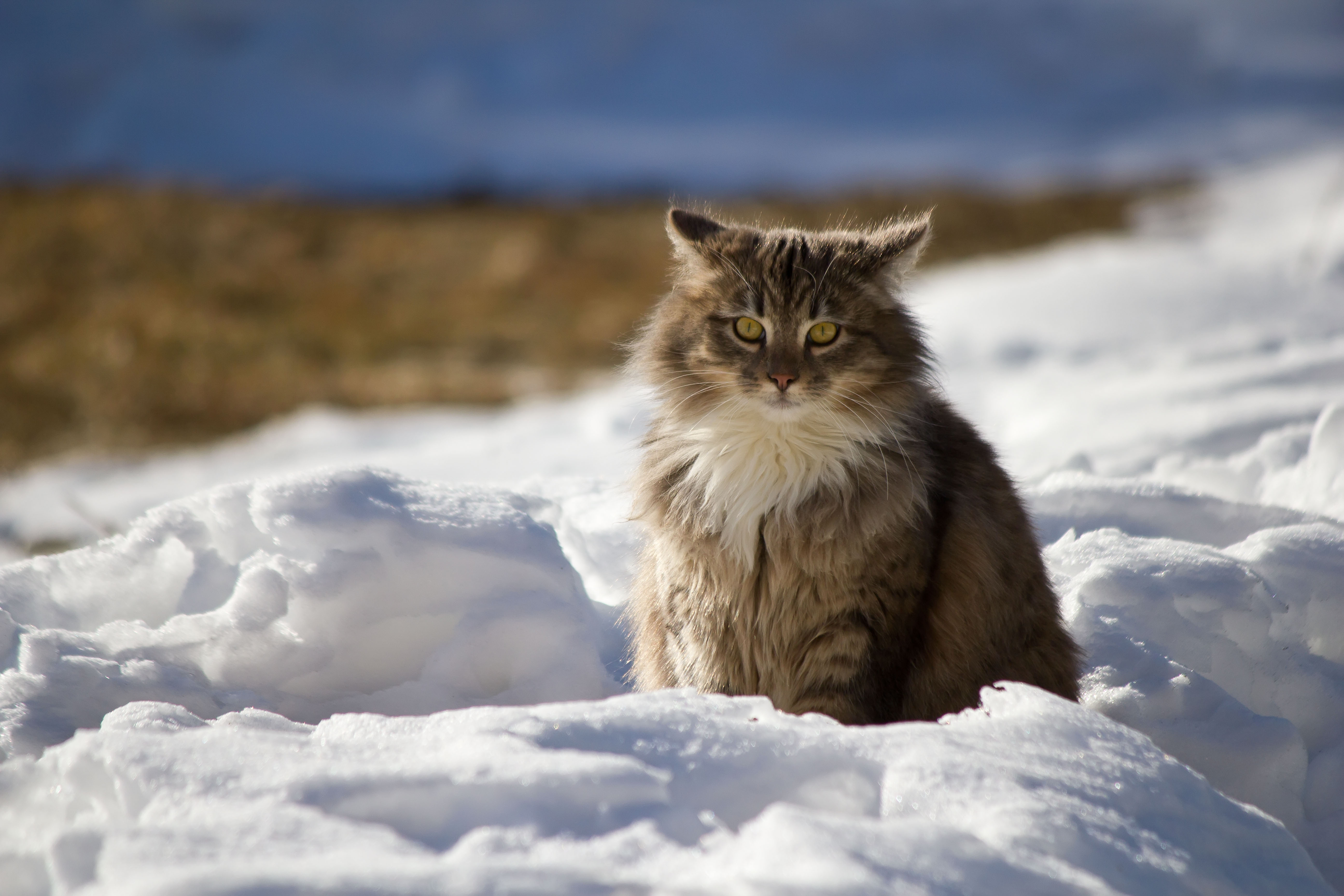 118968 download wallpaper Animals, Cat, Winter, Fluffy, Snow screensavers and pictures for free