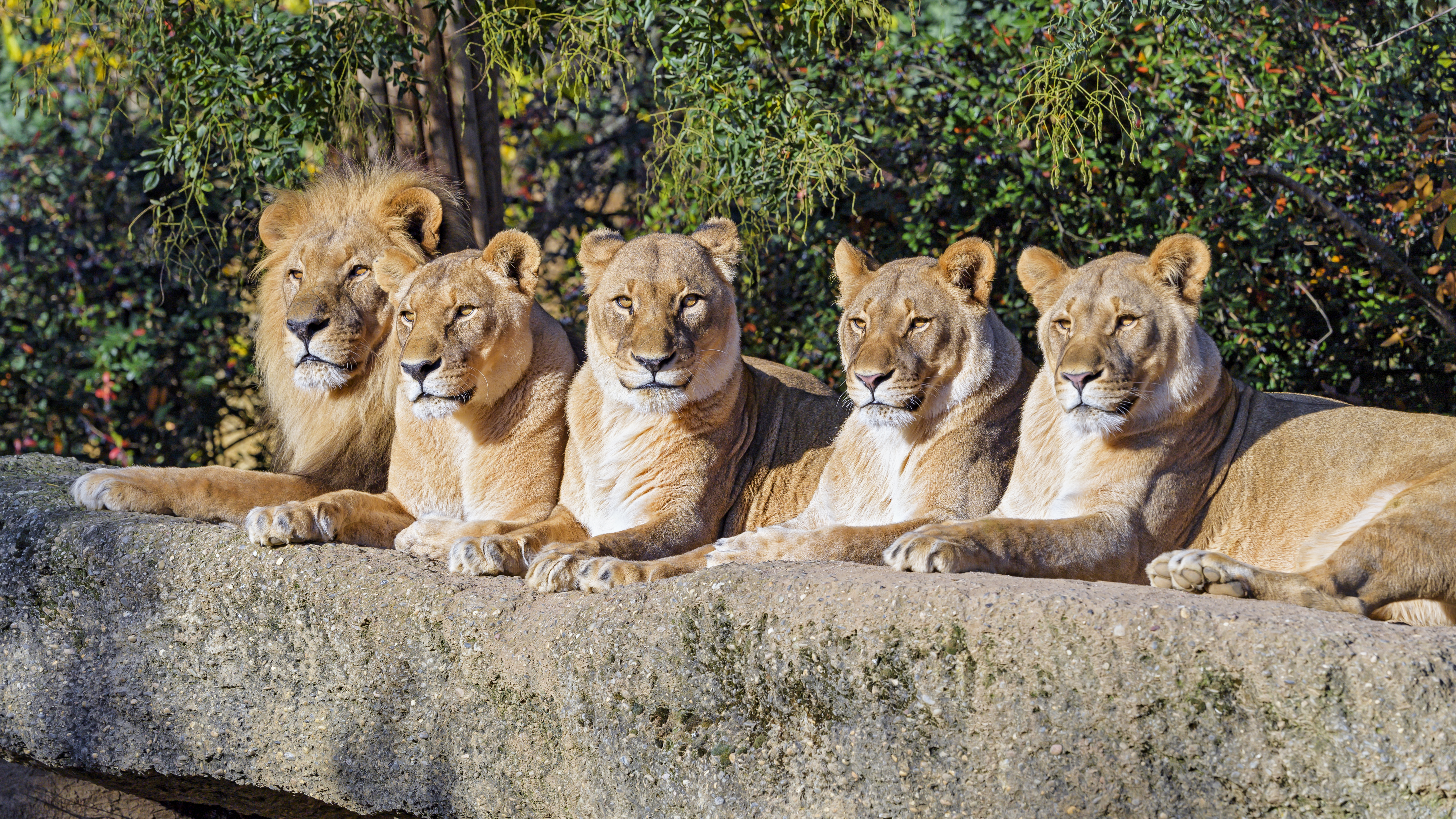 135506 download wallpaper Animals, Predator, Big Cat, Animal, Wildlife, Lions screensavers and pictures for free