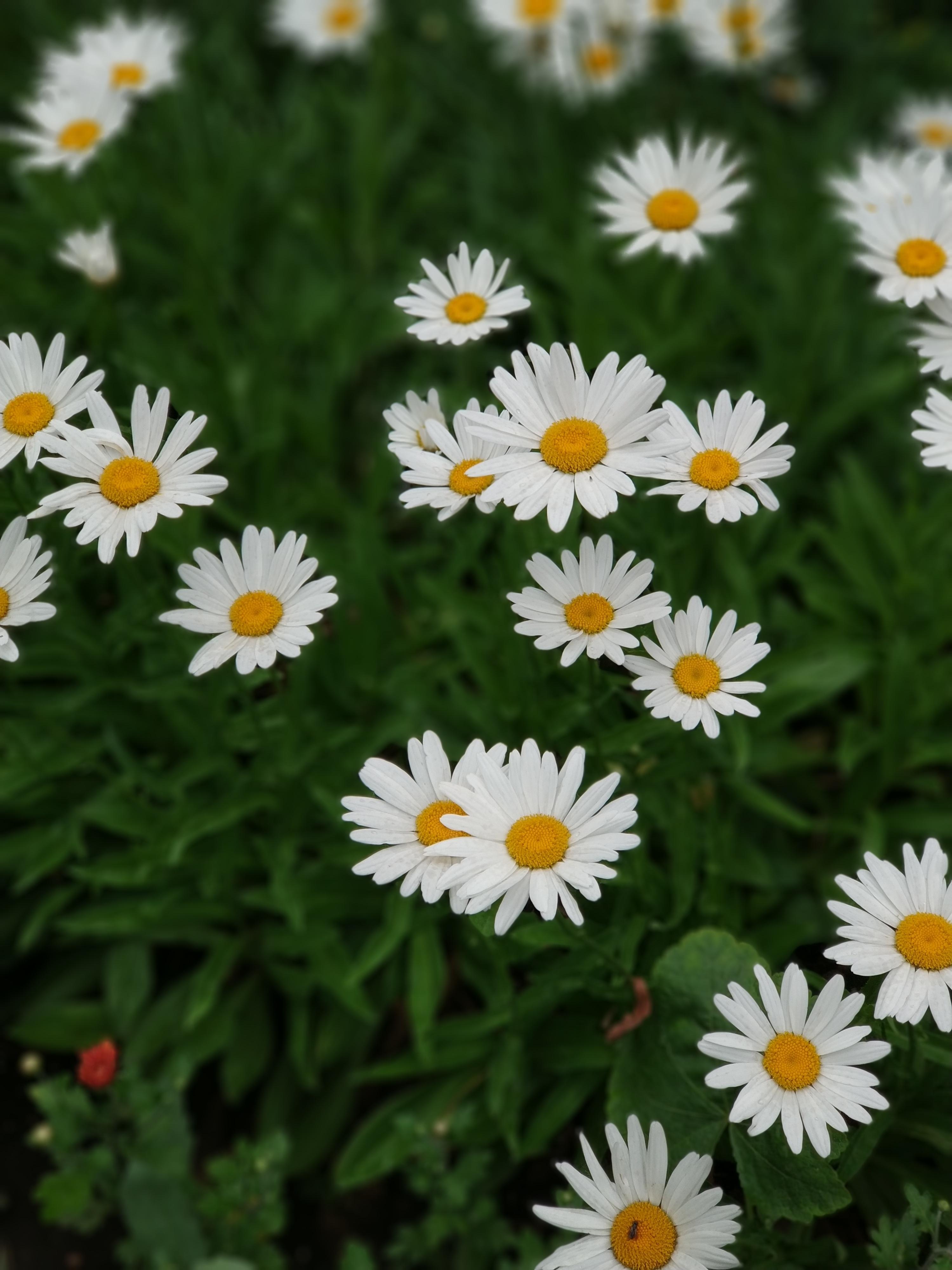 123342 скачать обои Цветы, Ромашки, Белый, Цветение, Растение - заставки и картинки бесплатно