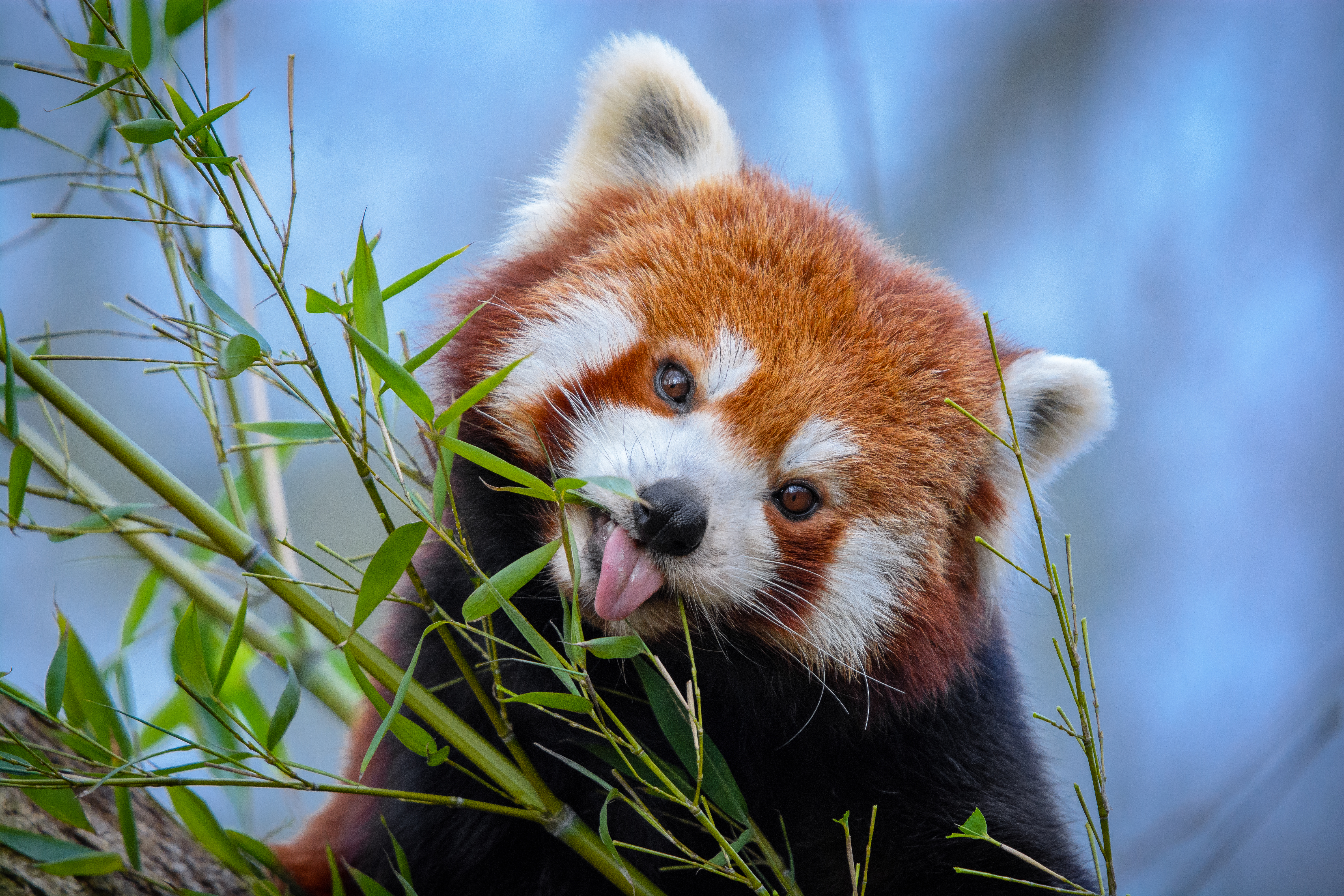 107439 download wallpaper Animals, Little Panda, Small Panda, Protruding Tongue, Tongue Stuck Out, Nice, Sweetheart, Funny, Animal, Bamboo screensavers and pictures for free