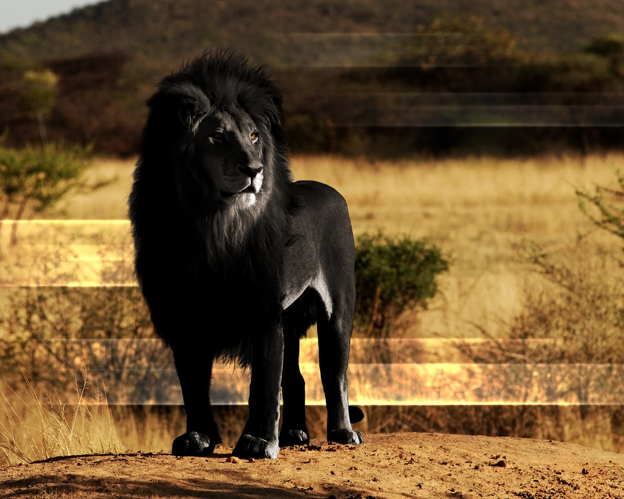 15351 download wallpaper Animals, Art, Lions screensavers and pictures for free