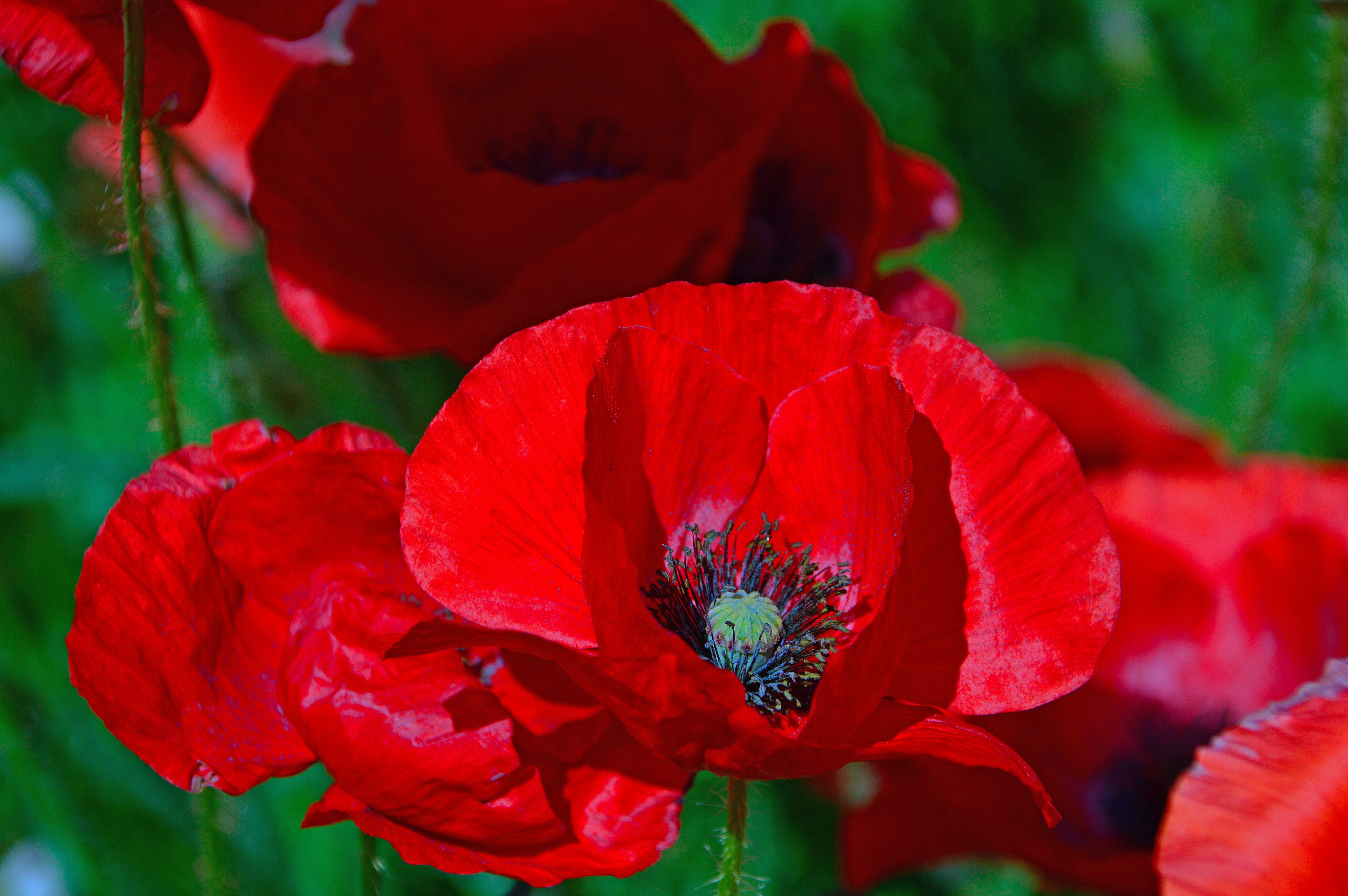 70710 скачать обои Цветы, Маки, Мак, Цветок, Красный, Цветение - заставки и картинки бесплатно