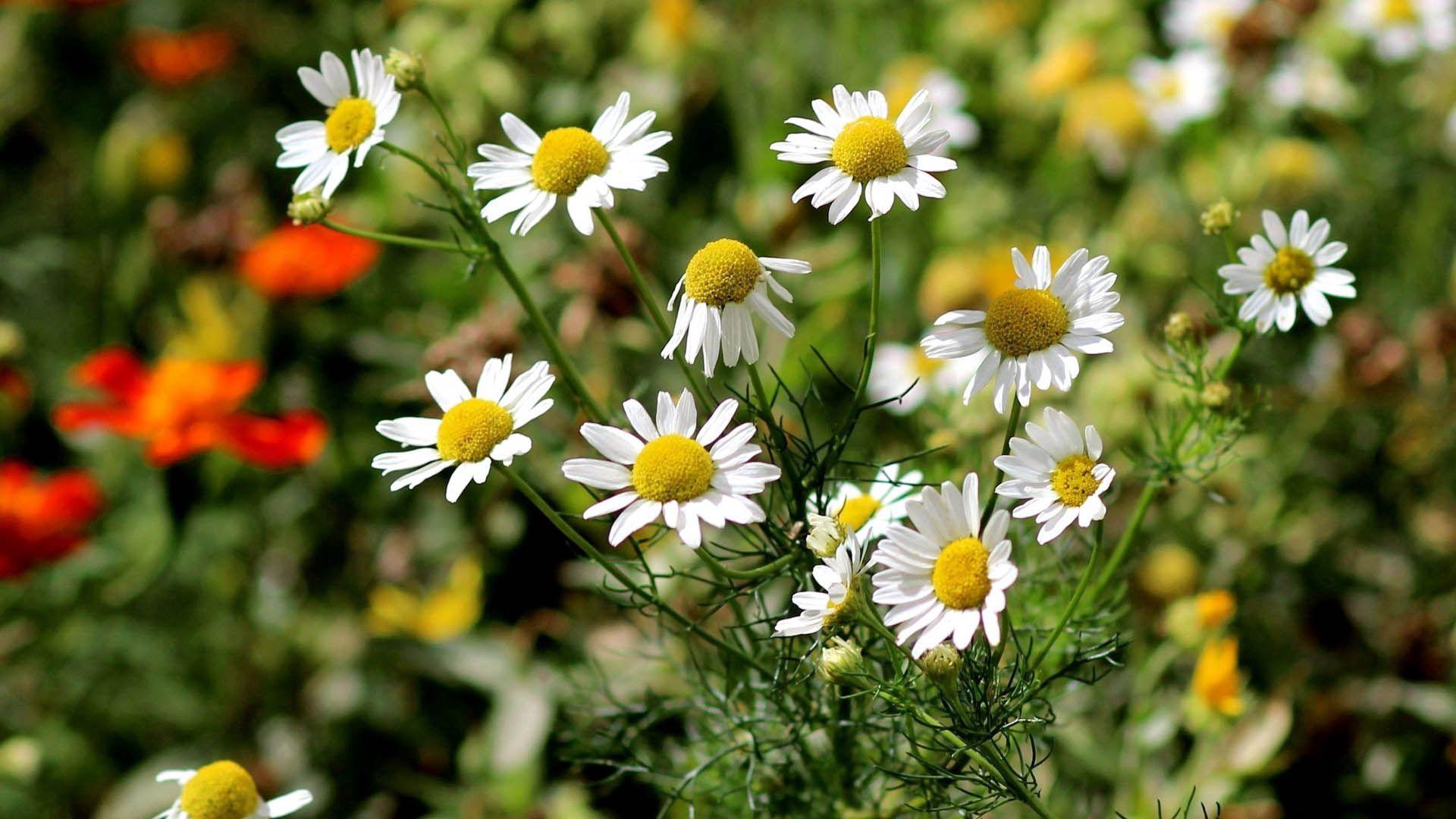 148153 Заставки и Обои Ромашки на телефон. Скачать Цветы, Ромашки, Трава, Листья картинки бесплатно