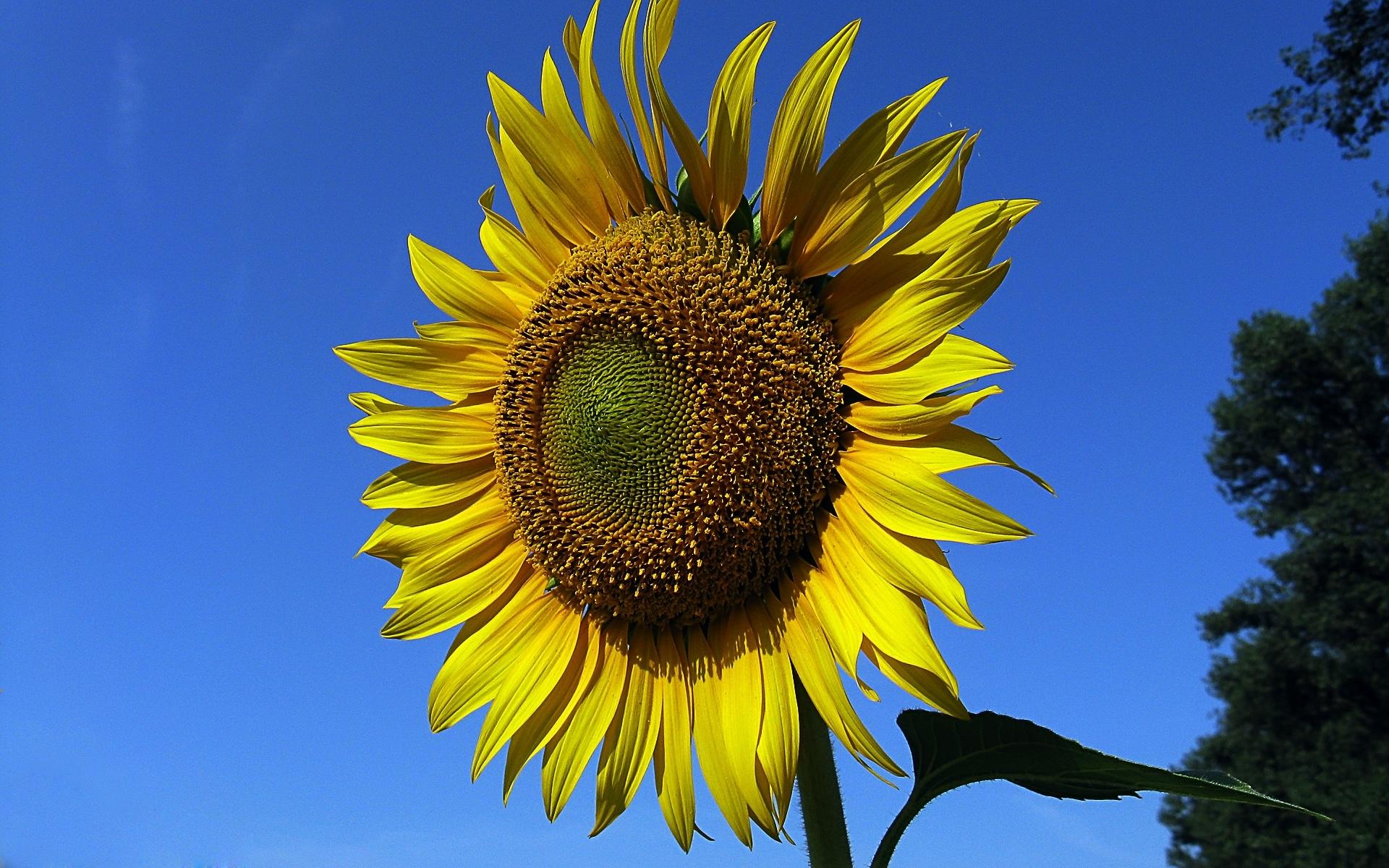 40298 descargar fondo de pantalla Plantas, Flores, Girasoles: protectores de pantalla e imágenes gratis