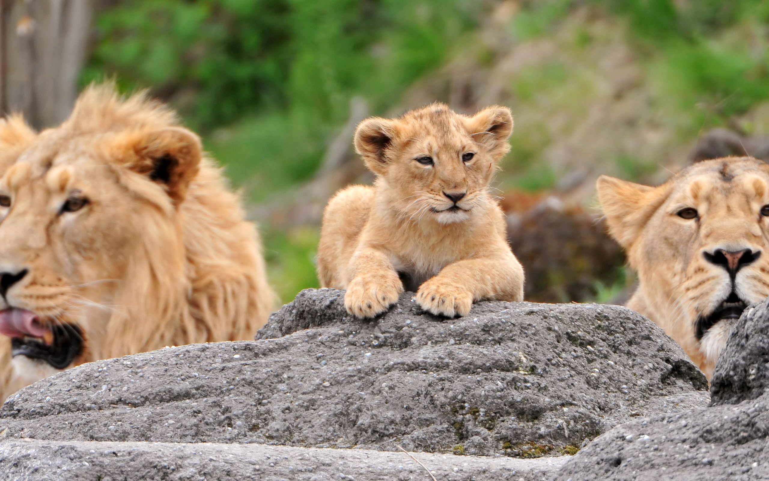 147082 download wallpaper Animals, Family, Lioness, Lion Cubs, To Lie Down, Lie, Lions screensavers and pictures for free