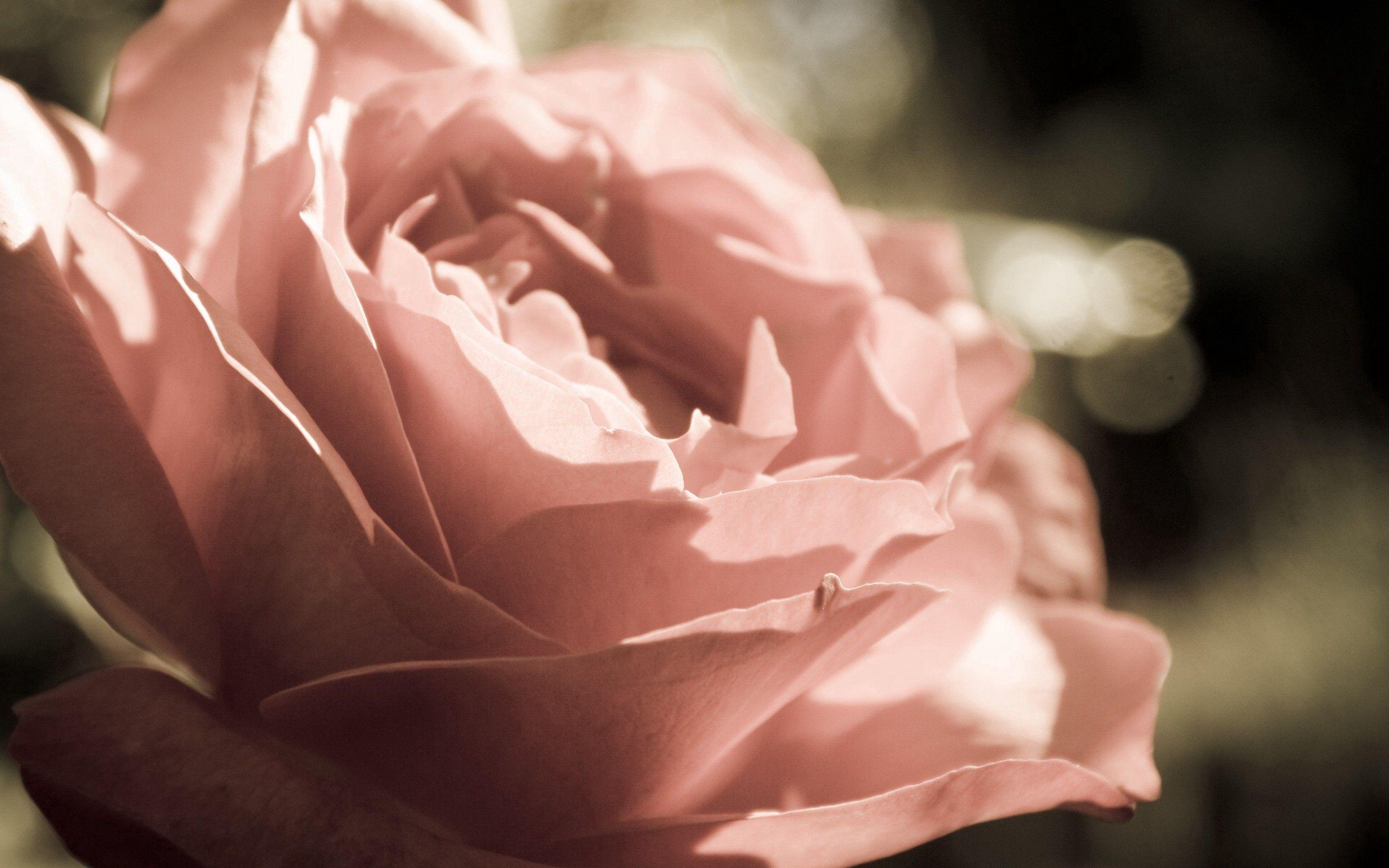 130735 скачать обои Макро, Роза, Лепестки, Фон, Цветок - заставки и картинки бесплатно