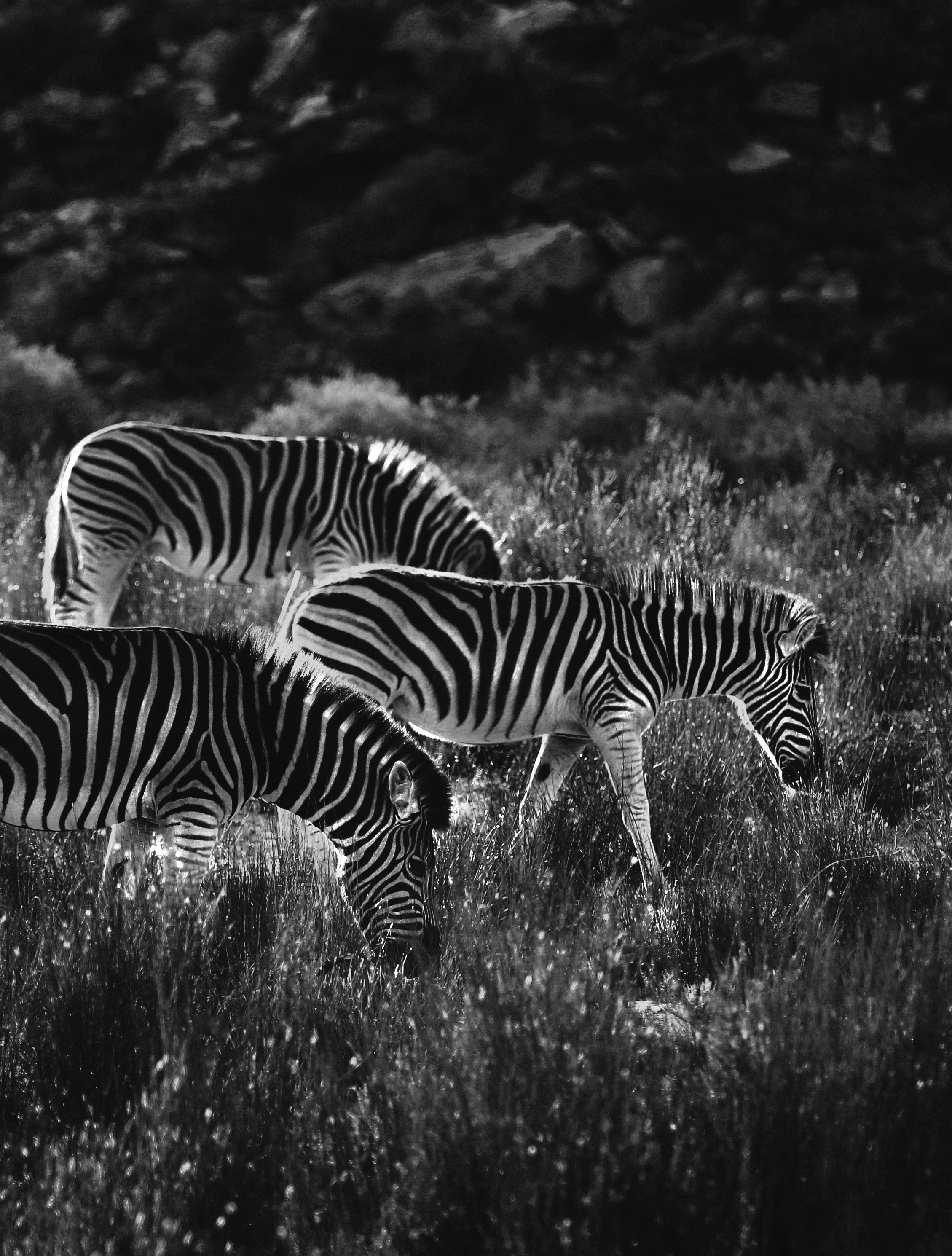 110920 download wallpaper Animals, Zebra, Bw, Chb screensavers and pictures for free