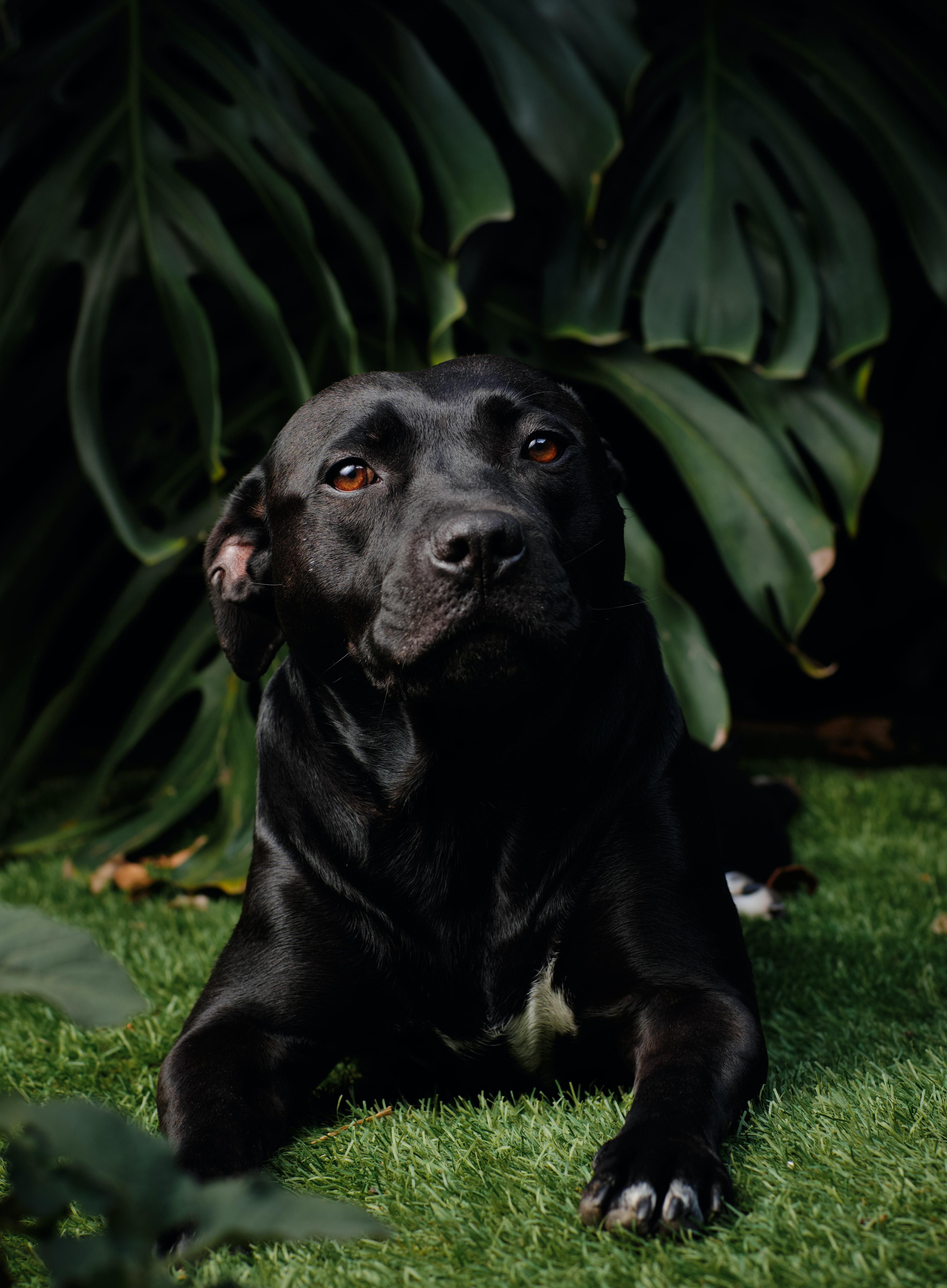 98076 download wallpaper Animals, Labrador Retriever, Labrador, Dog, Pet screensavers and pictures for free