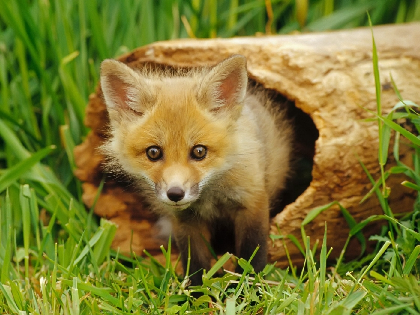 49715 download wallpaper Animals, Fox screensavers and pictures for free