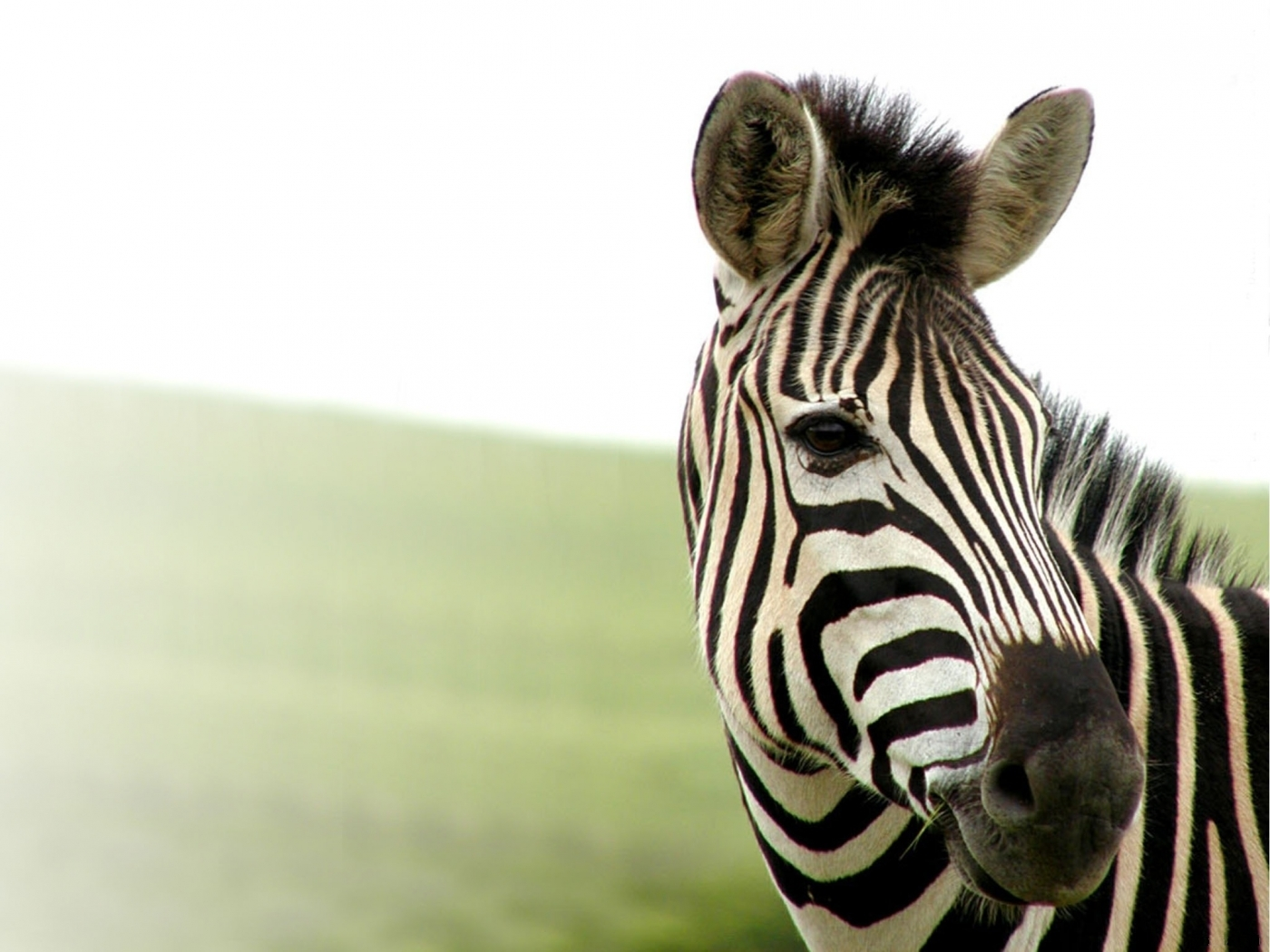 47038 download wallpaper Animals, Zebra screensavers and pictures for free