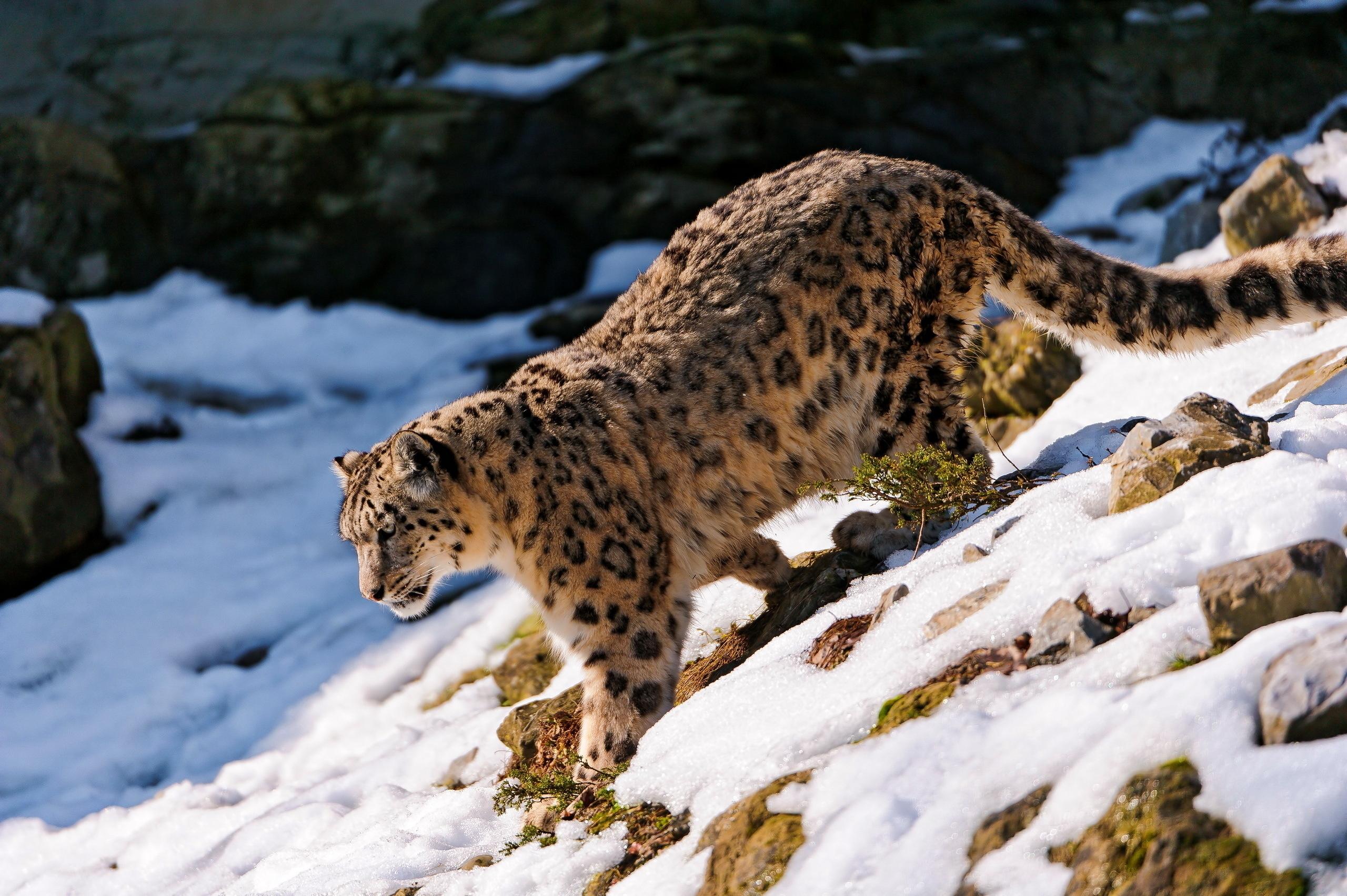 130364 Hintergrundbild herunterladen Schneeleopard, Tiere, Schnee, Wald, Bummel, Spaziergang, Abstammung, Abstieg - Bildschirmschoner und Bilder kostenlos