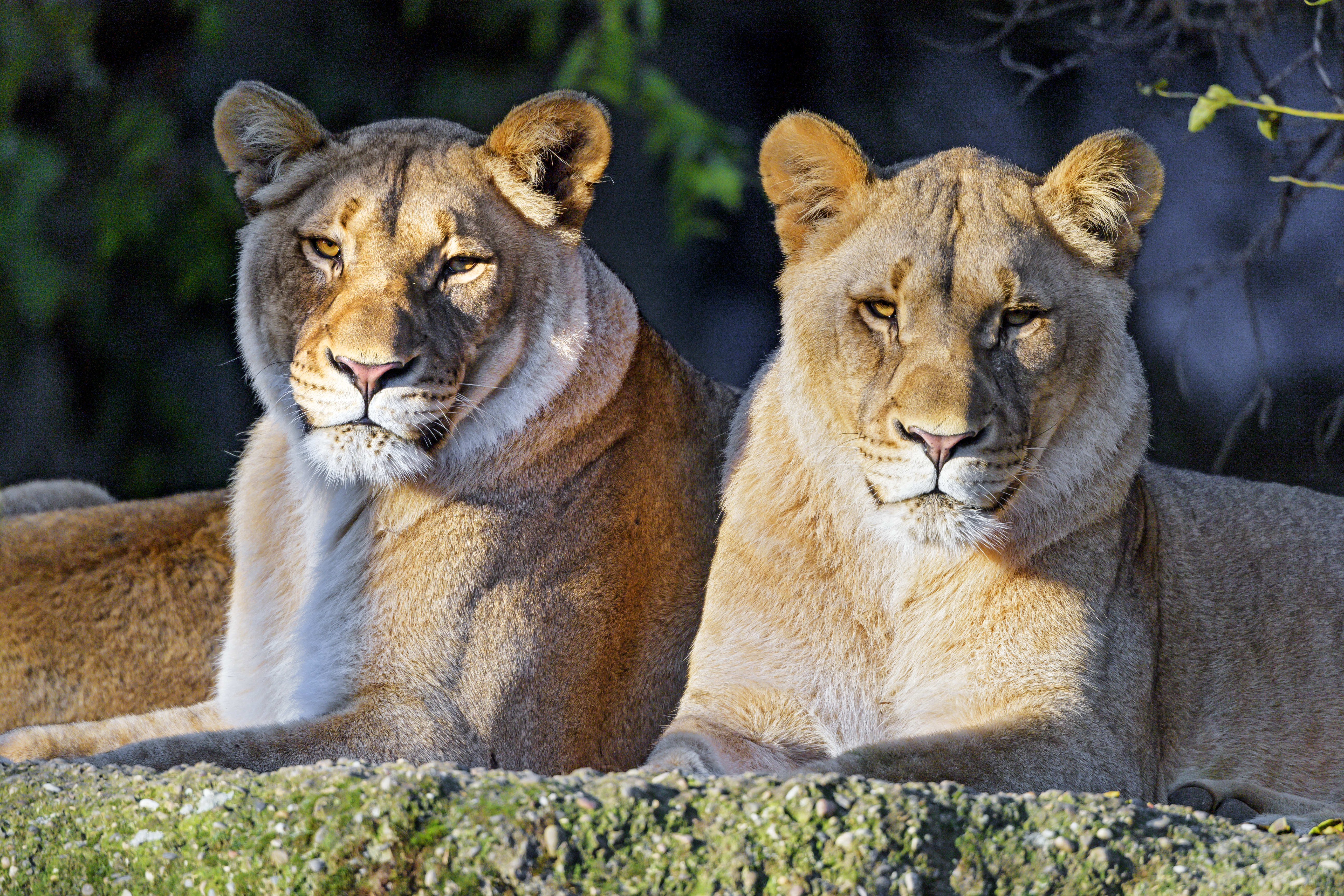 147162 Screensavers and Wallpapers Animal for phone. Download Animals, Lioness, Big Cat, Predator, Sight, Opinion, Wild, Animal pictures for free