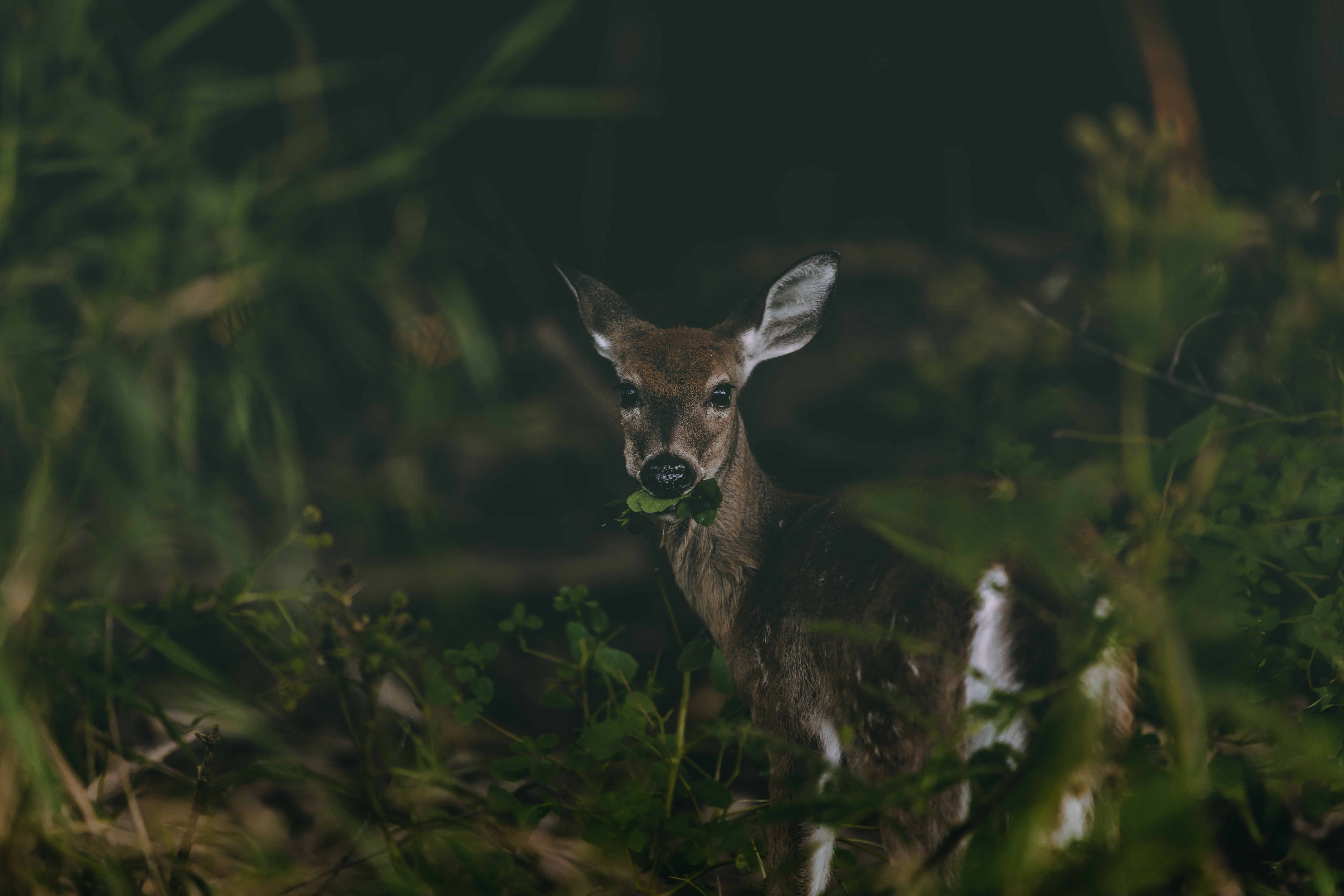 88786 download wallpaper Animals, Deer, Grass, Wildlife, Nice, Sweetheart, Food screensavers and pictures for free