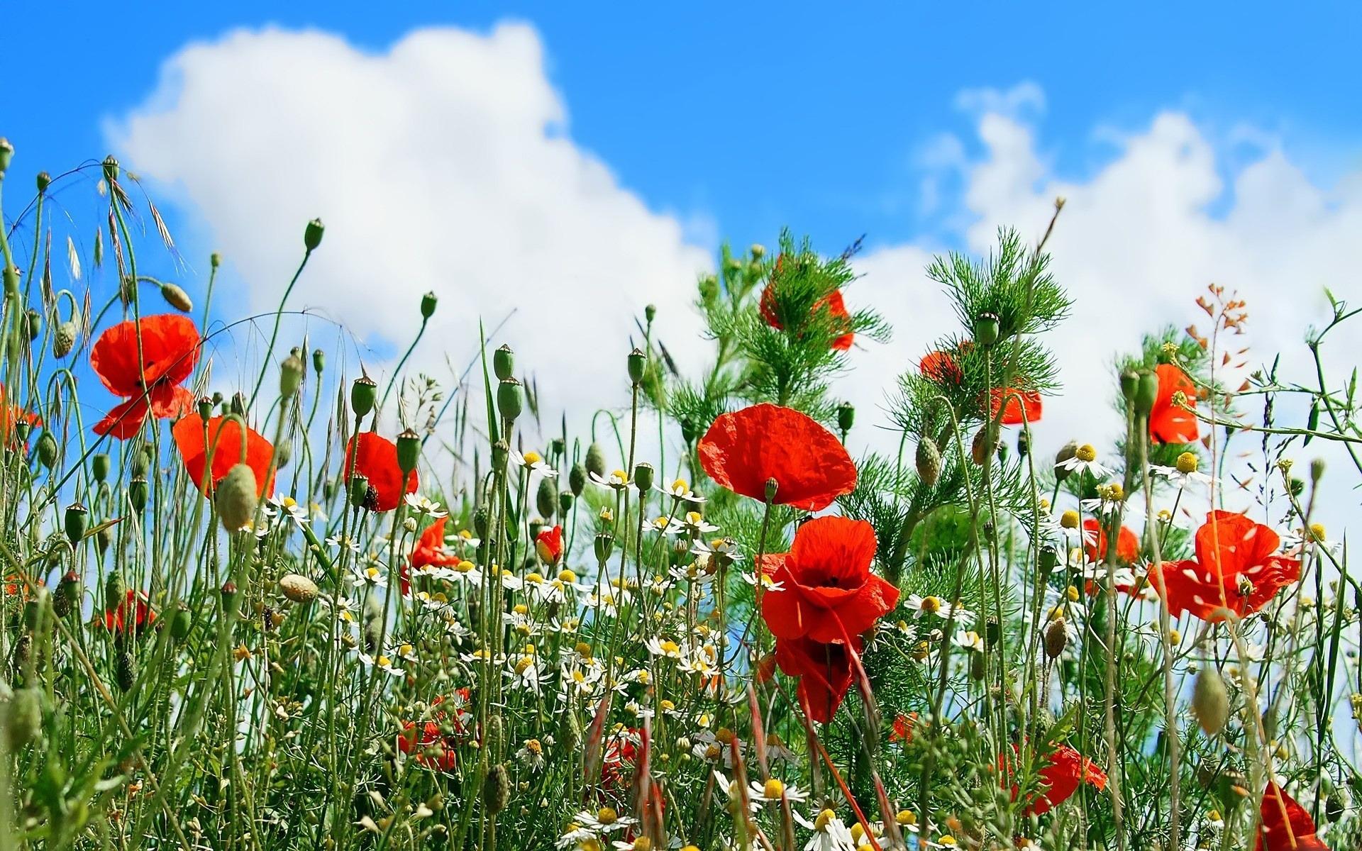29025 скачать обои Растения, Цветы, Маки - заставки и картинки бесплатно