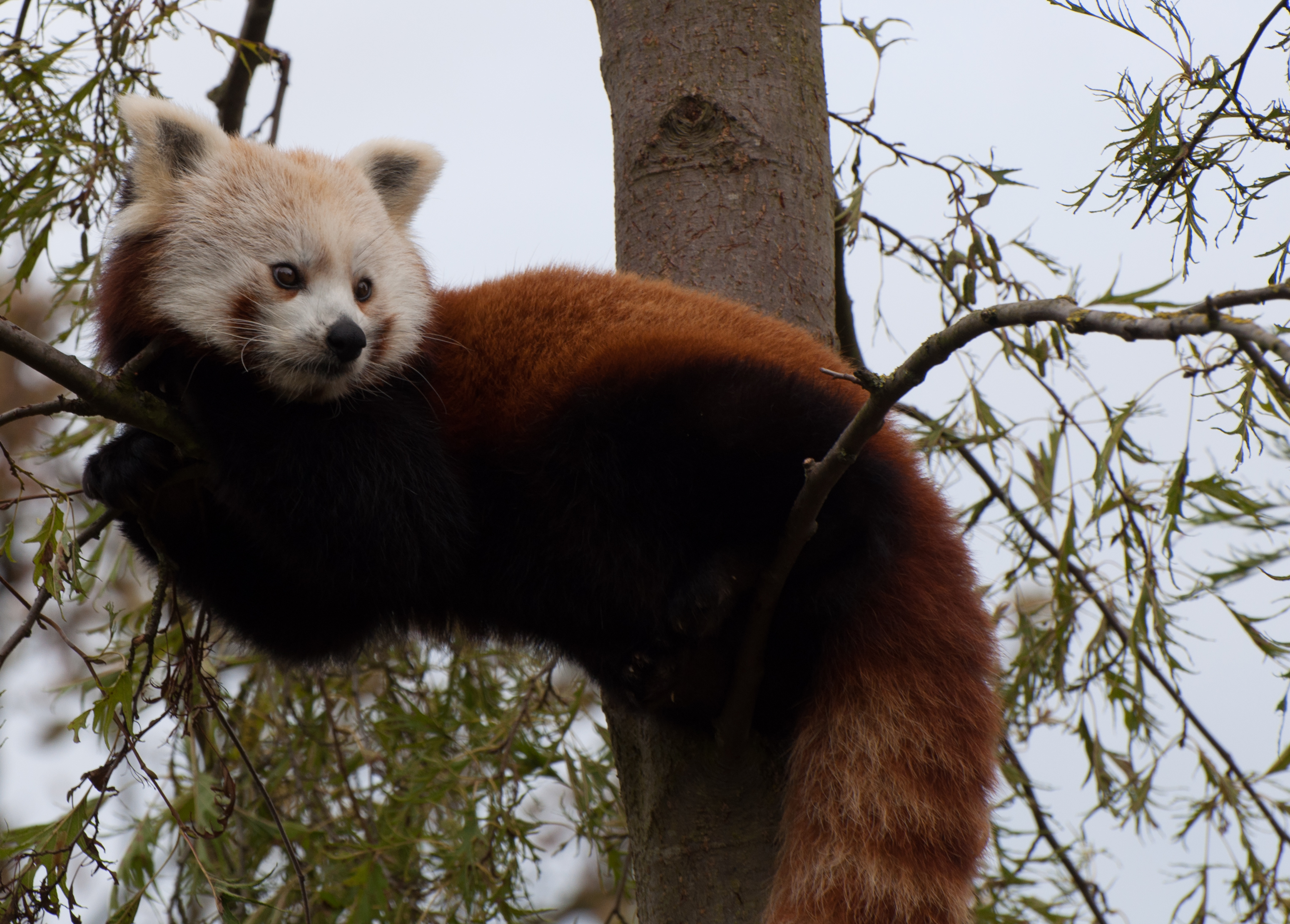 114478 download wallpaper Animals, Red Panda, Nice, Sweetheart, Muzzle, Animal screensavers and pictures for free