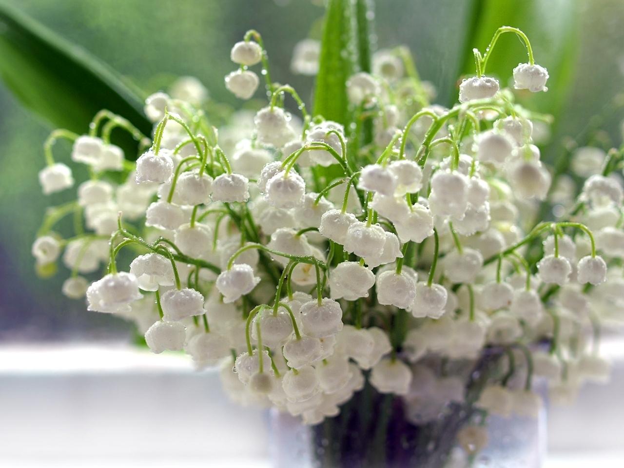 27395 Hintergrundbild herunterladen Blumen, Drops, Pflanzen, Maiglöckchen - Bildschirmschoner und Bilder kostenlos