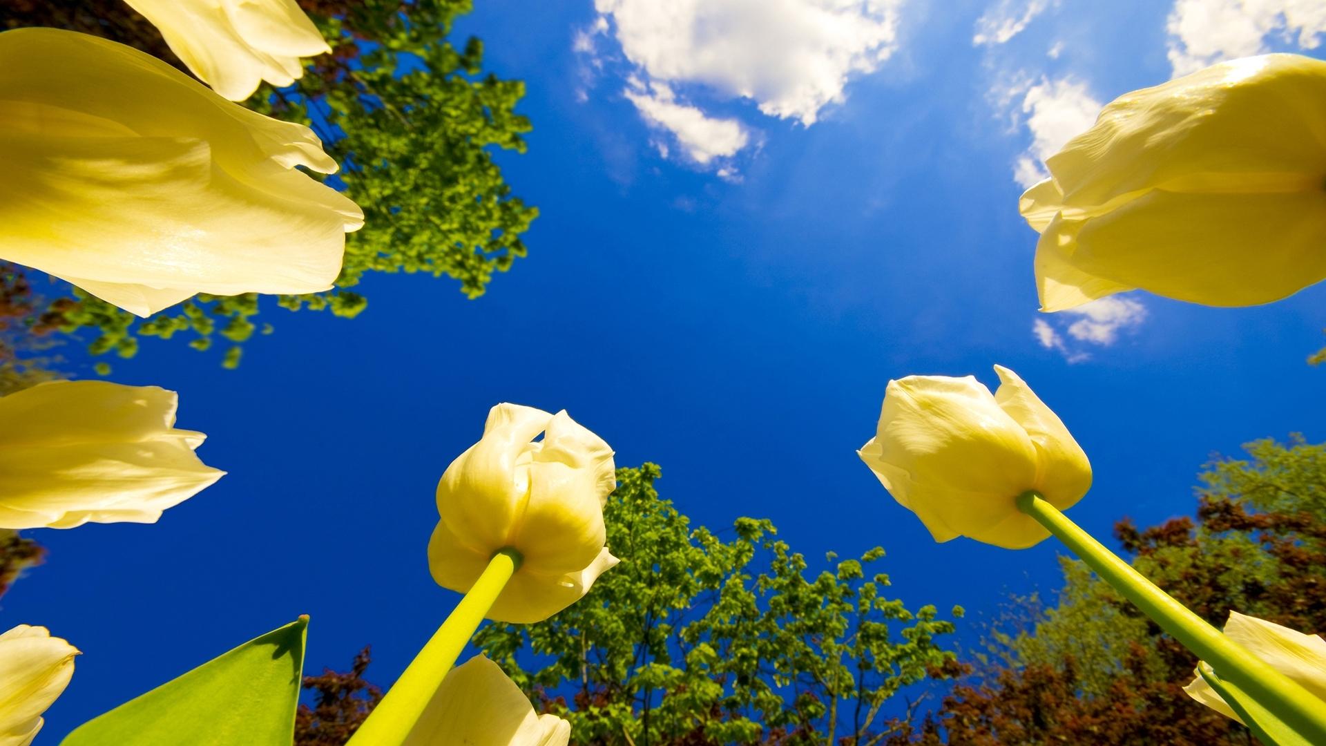 43006 скачать обои Растения, Цветы, Тюльпаны - заставки и картинки бесплатно