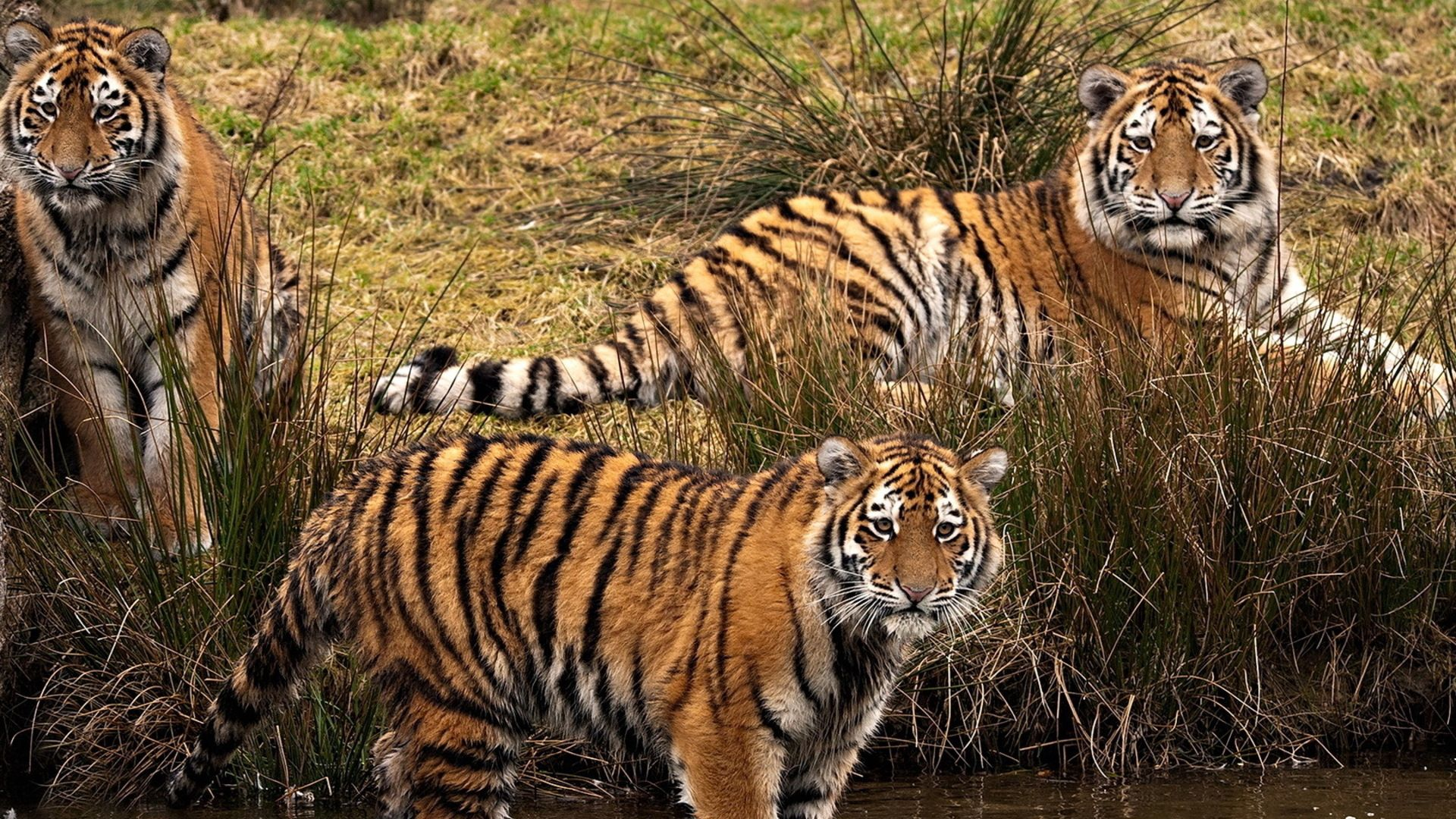148258 download wallpaper Animals, Three, Grass, Stroll, Predators, Tigers screensavers and pictures for free