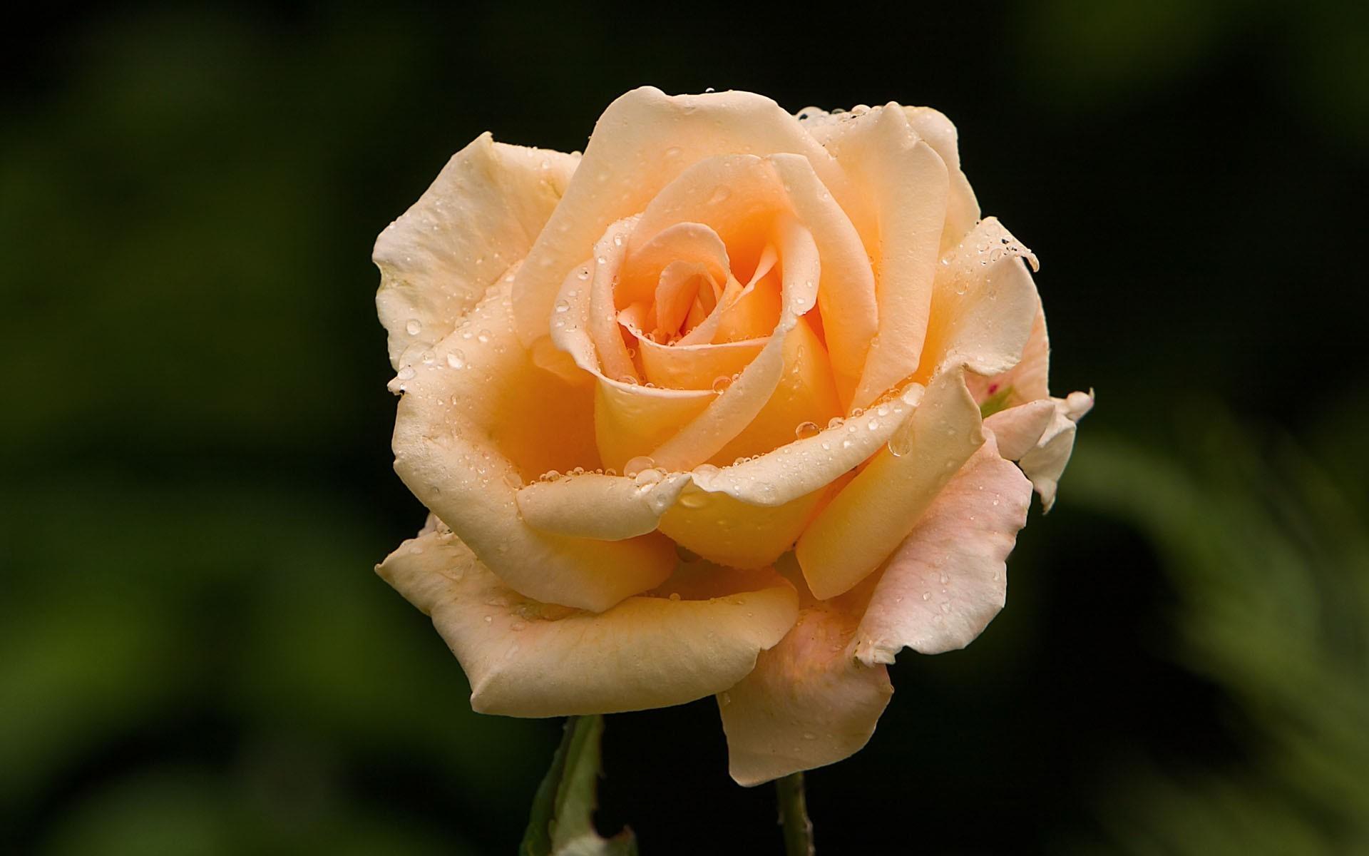 21987 télécharger le fond d'écran Plantes, Fleurs, Roses - économiseurs d'écran et images gratuitement