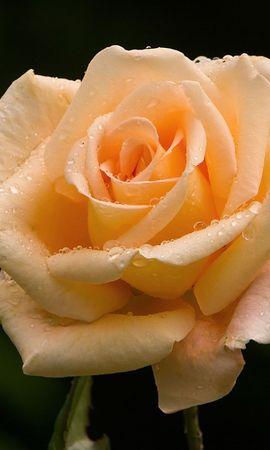 21987 baixar papel de parede Plantas, Flores, Rosas - protetores de tela e imagens gratuitamente
