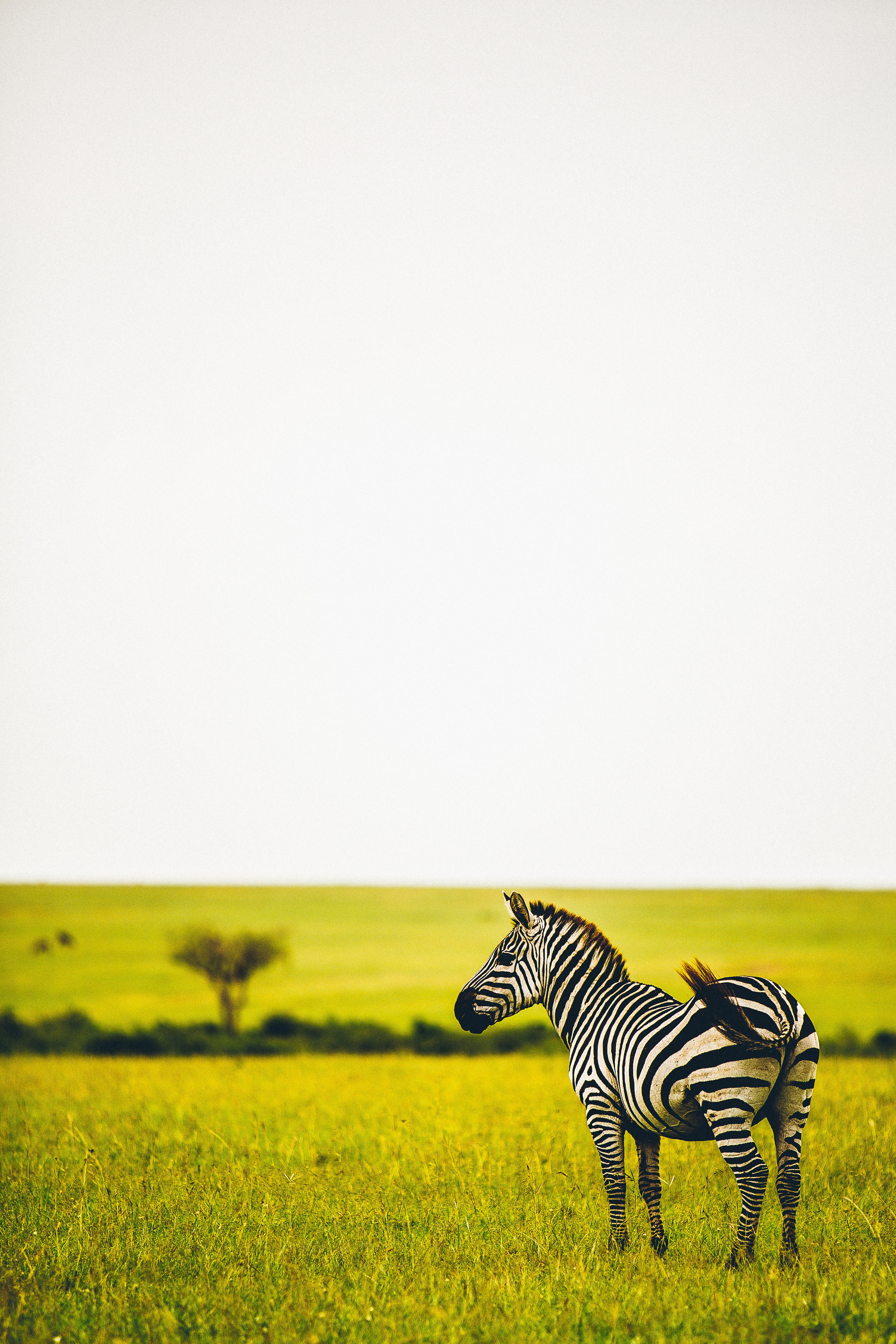 52542 download wallpaper Animals, Zebra, Savanna, Wildlife, Animal, Striped, Greens, Grass screensavers and pictures for free