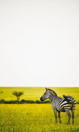 52542 скачать обои Животные, Зебры, Саванна, Дикая Природа, Животное, Полосатый, Зелень, Трава - заставки и картинки бесплатно