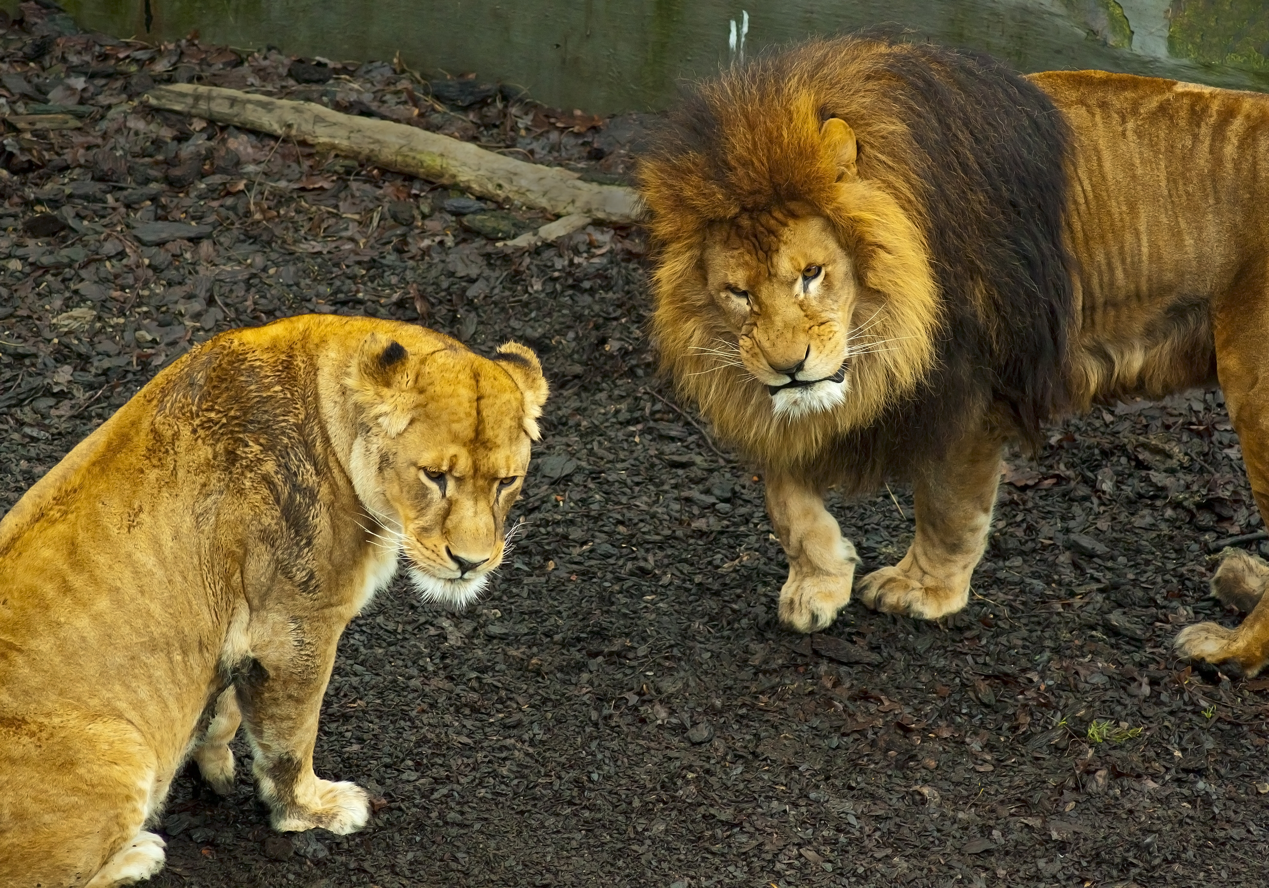 61700 download wallpaper Animals, Lion, Lioness, Stroll, Predator screensavers and pictures for free