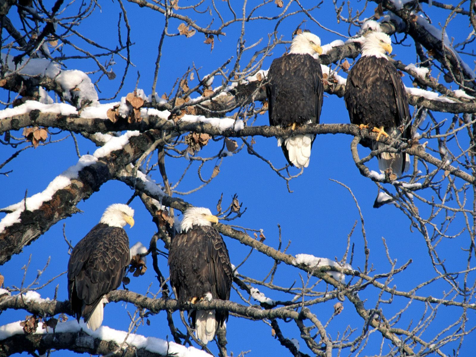 8065 download wallpaper Animals, Birds, Eagles screensavers and pictures for free