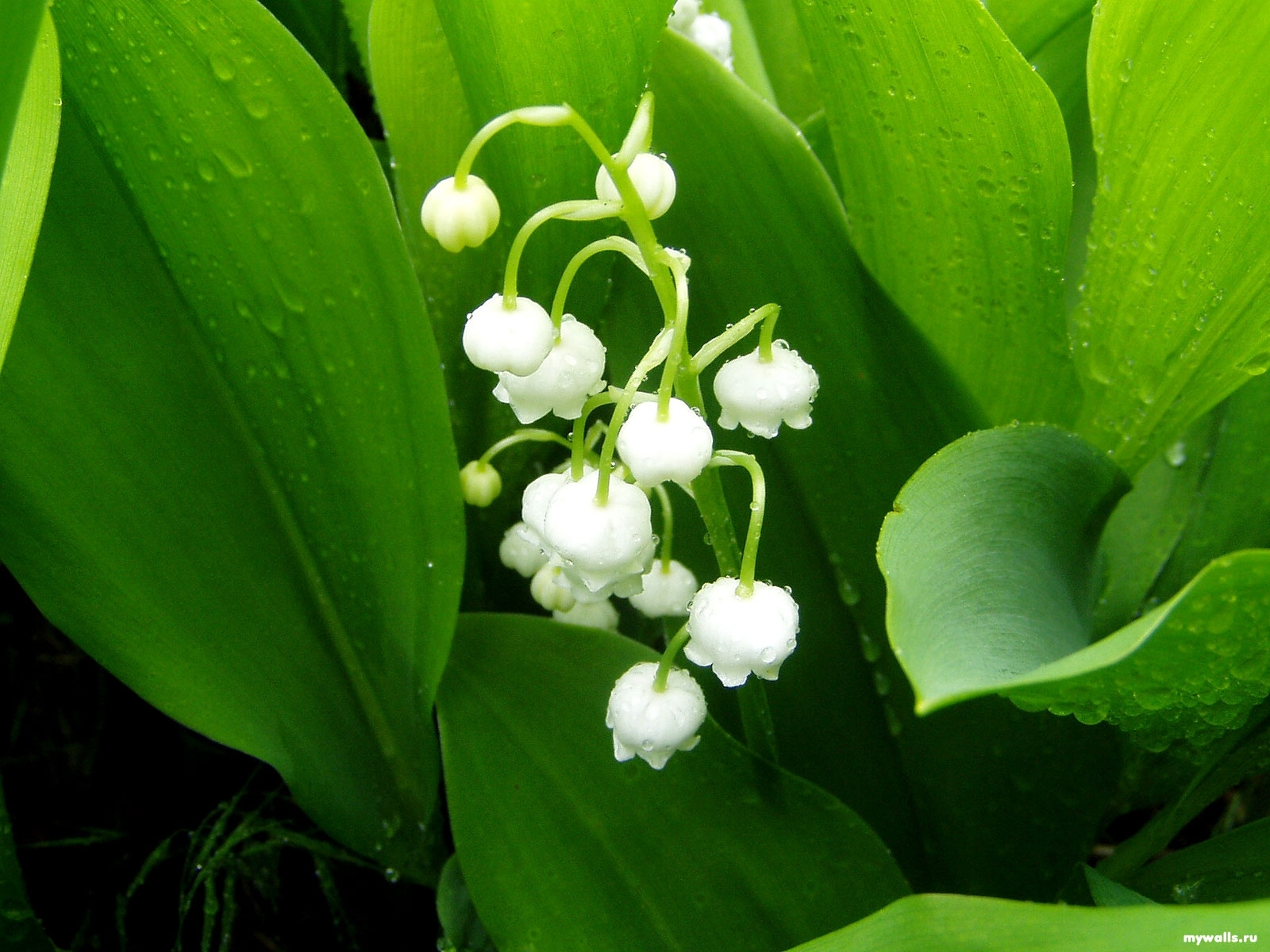 13515 download wallpaper Flowers, Plants, Lily Of The Valley screensavers and pictures for free