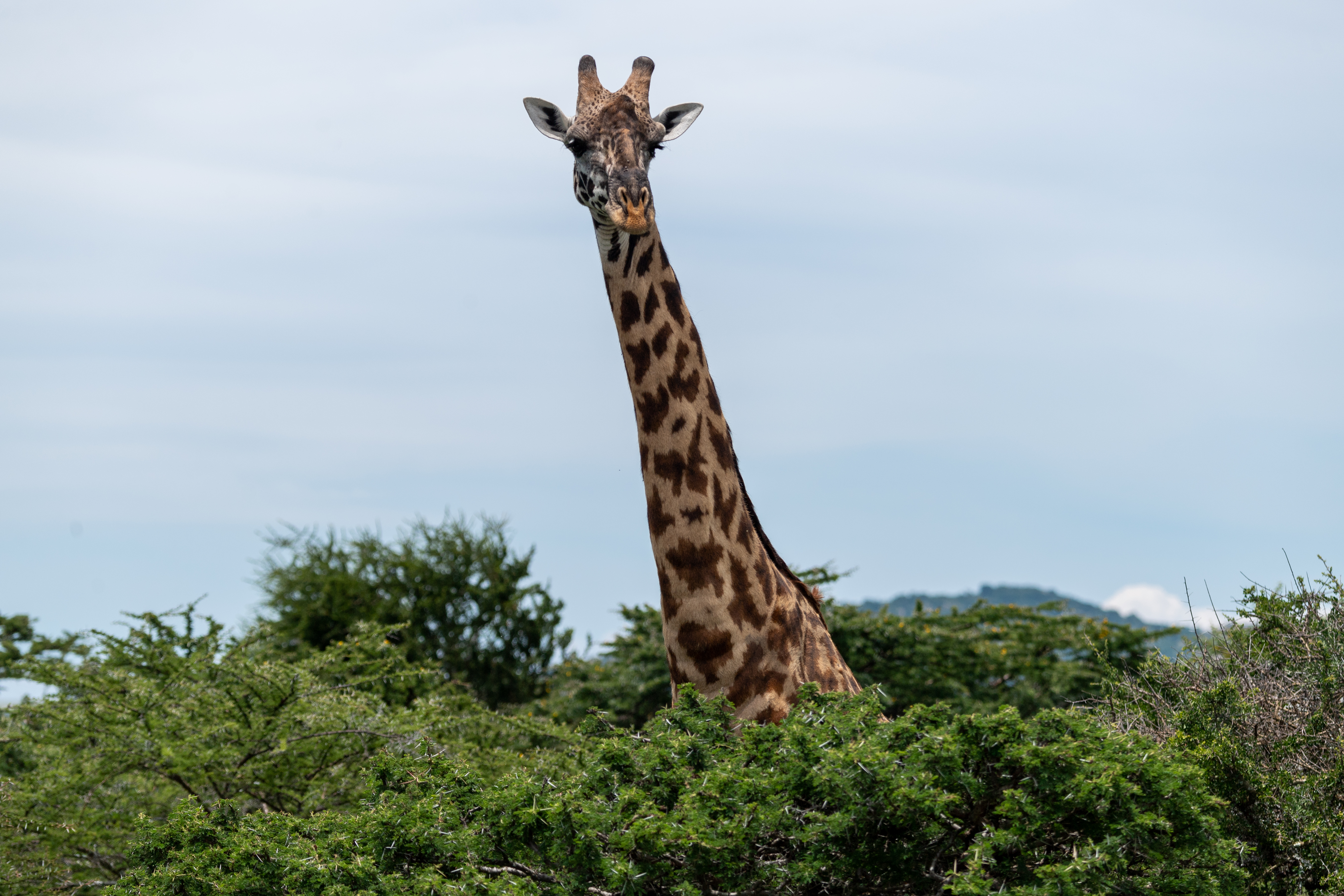 155098 download wallpaper Animals, Giraffe, Trees, Animal, Wildlife screensavers and pictures for free