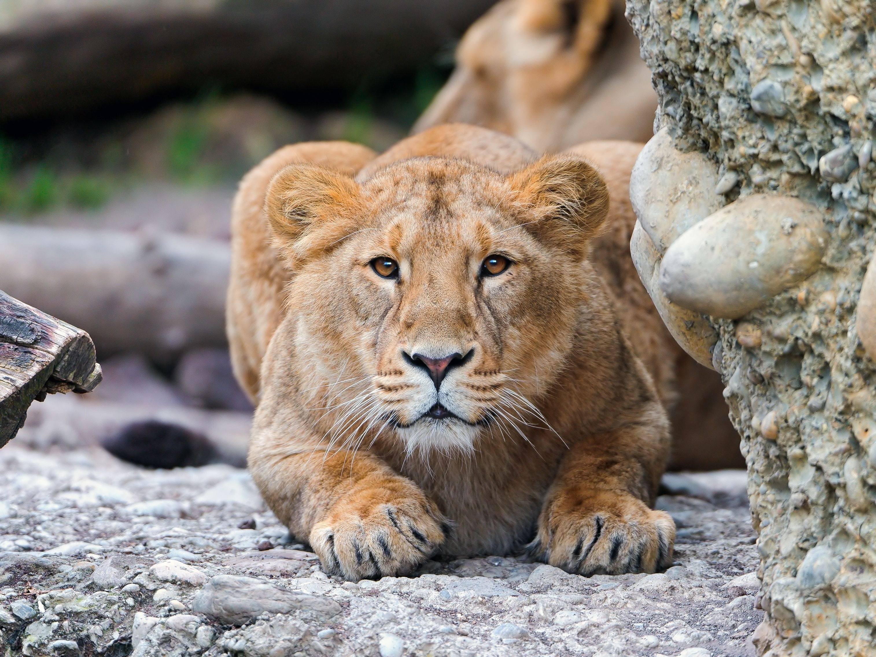87504 download wallpaper Animals, Lion, Young, Predator, Alertness, Stones screensavers and pictures for free