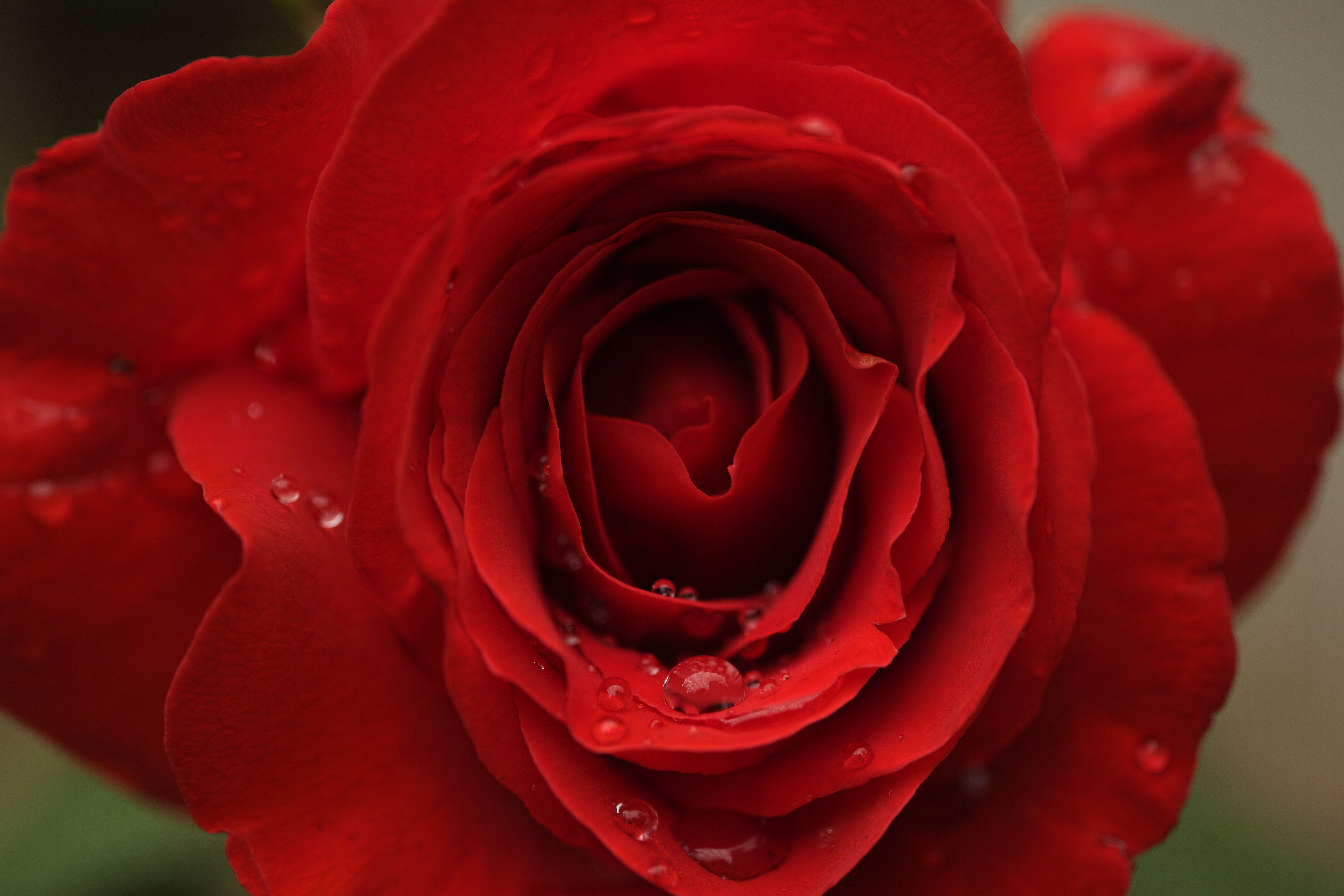 137590 download wallpaper Flowers, Rose Flower, Rose, Petals, Drops, Macro screensavers and pictures for free
