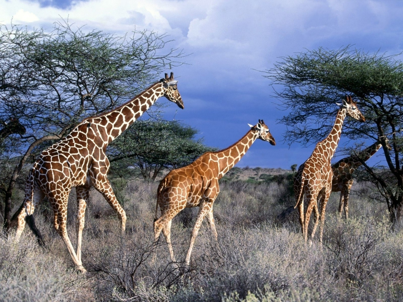 45984 download wallpaper Animals, Nature, Giraffes screensavers and pictures for free