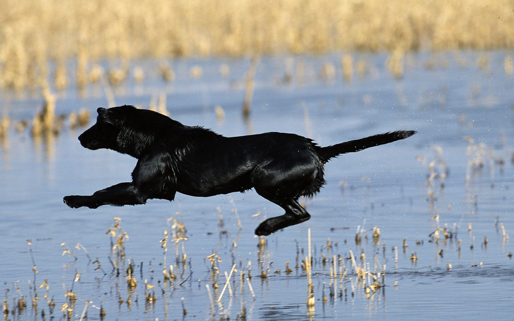 92886 download wallpaper Animals, Dog, Bounce, Jump, Hunting, Hunt, Water, Grass screensavers and pictures for free