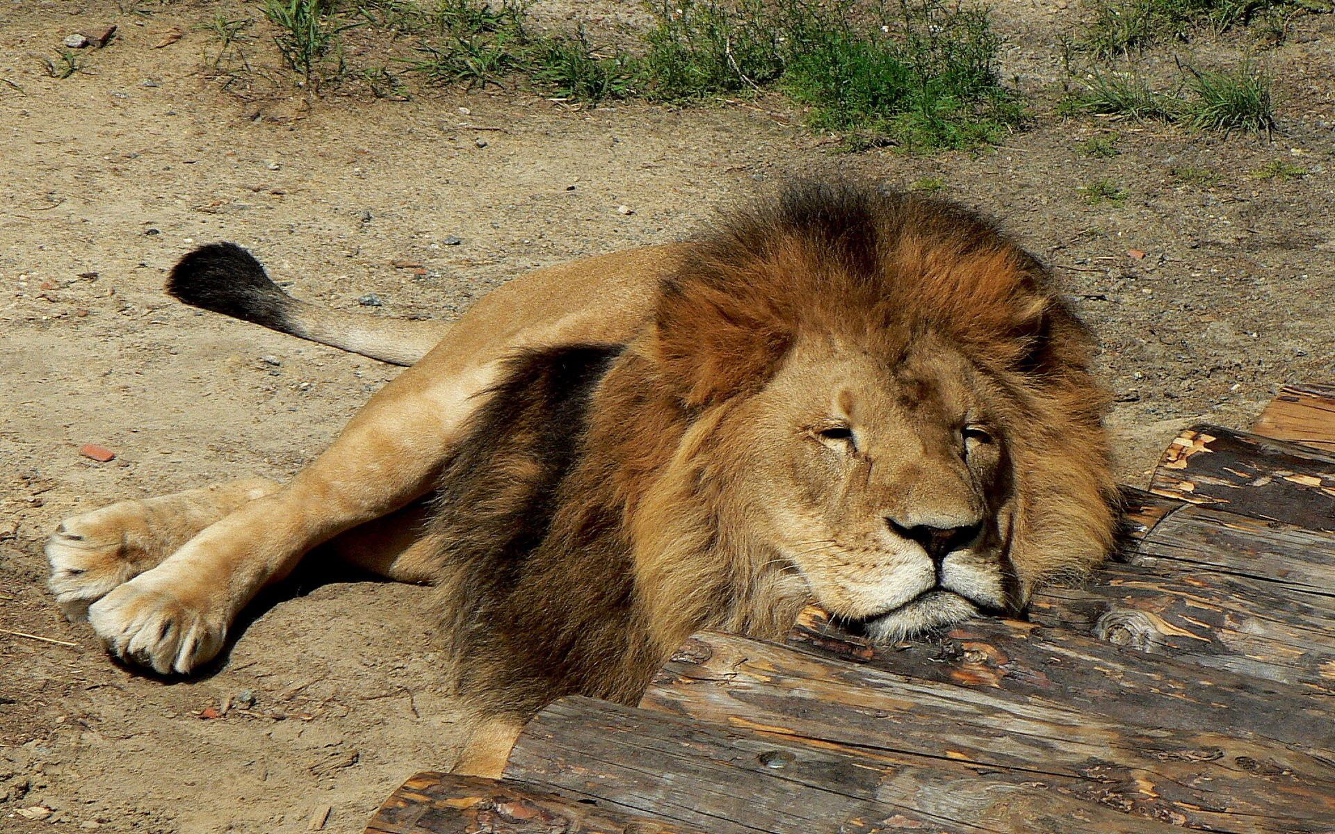50958 download wallpaper Animals, Lion, Sleep, Dream, Predator, To Lie Down, Lie, Mane screensavers and pictures for free
