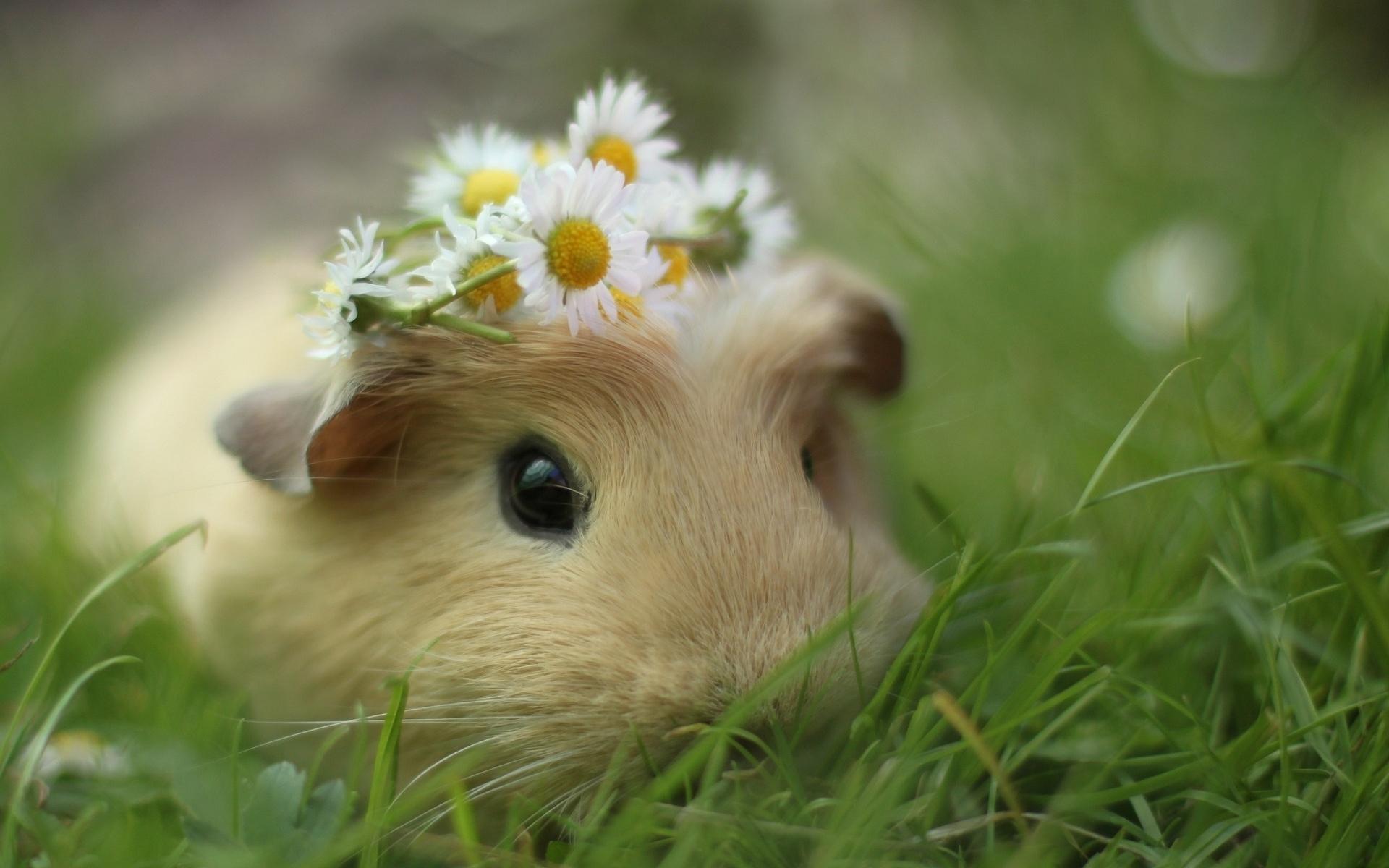32336 Hintergrundbild herunterladen Tiere, Nagetiere, Meerschweinchen - Bildschirmschoner und Bilder kostenlos