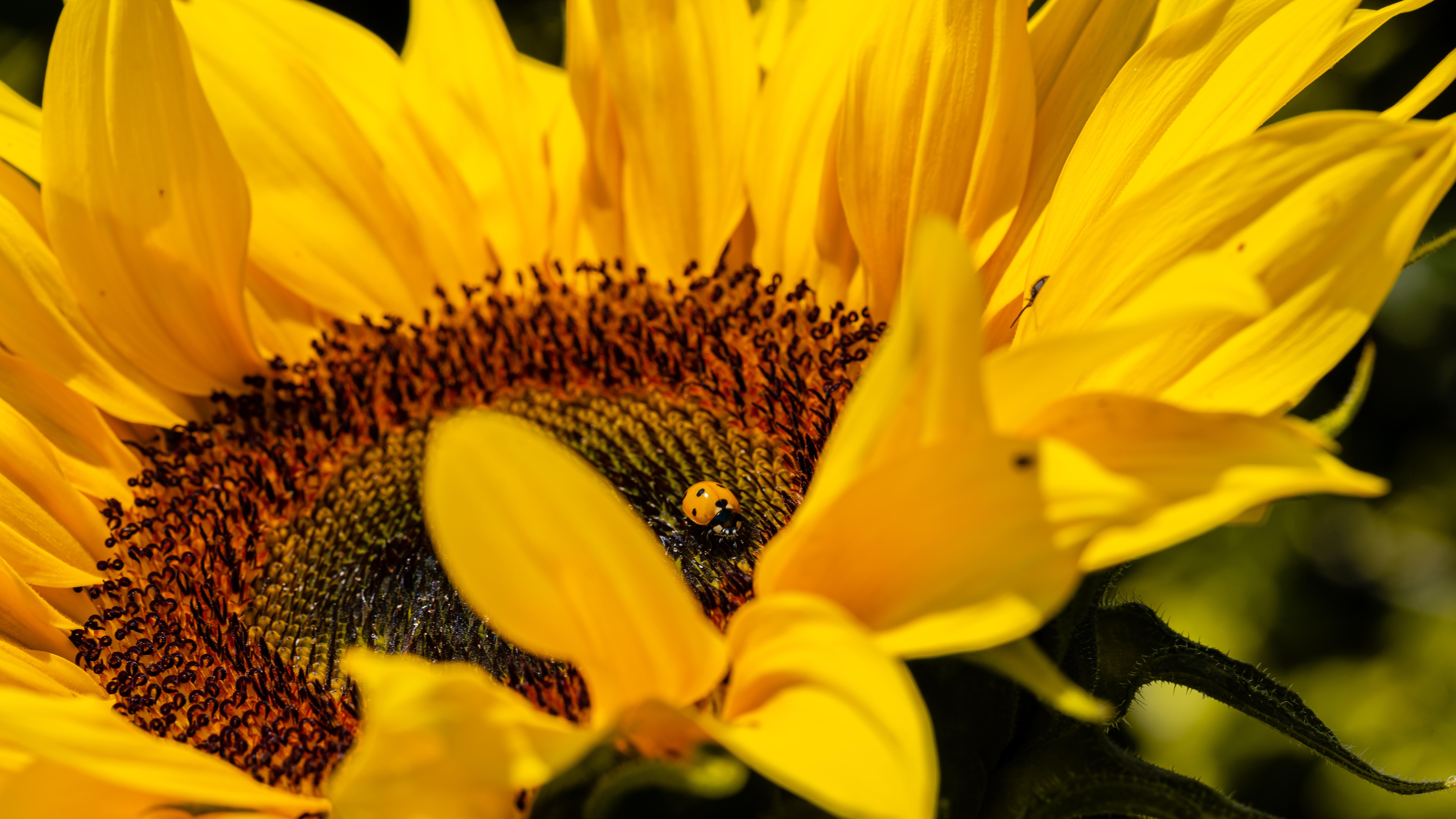 71355 Hintergrundbild herunterladen Marienkäfer, Blume, Makro, Insekt, Ladybird, Sonnenblume - Bildschirmschoner und Bilder kostenlos