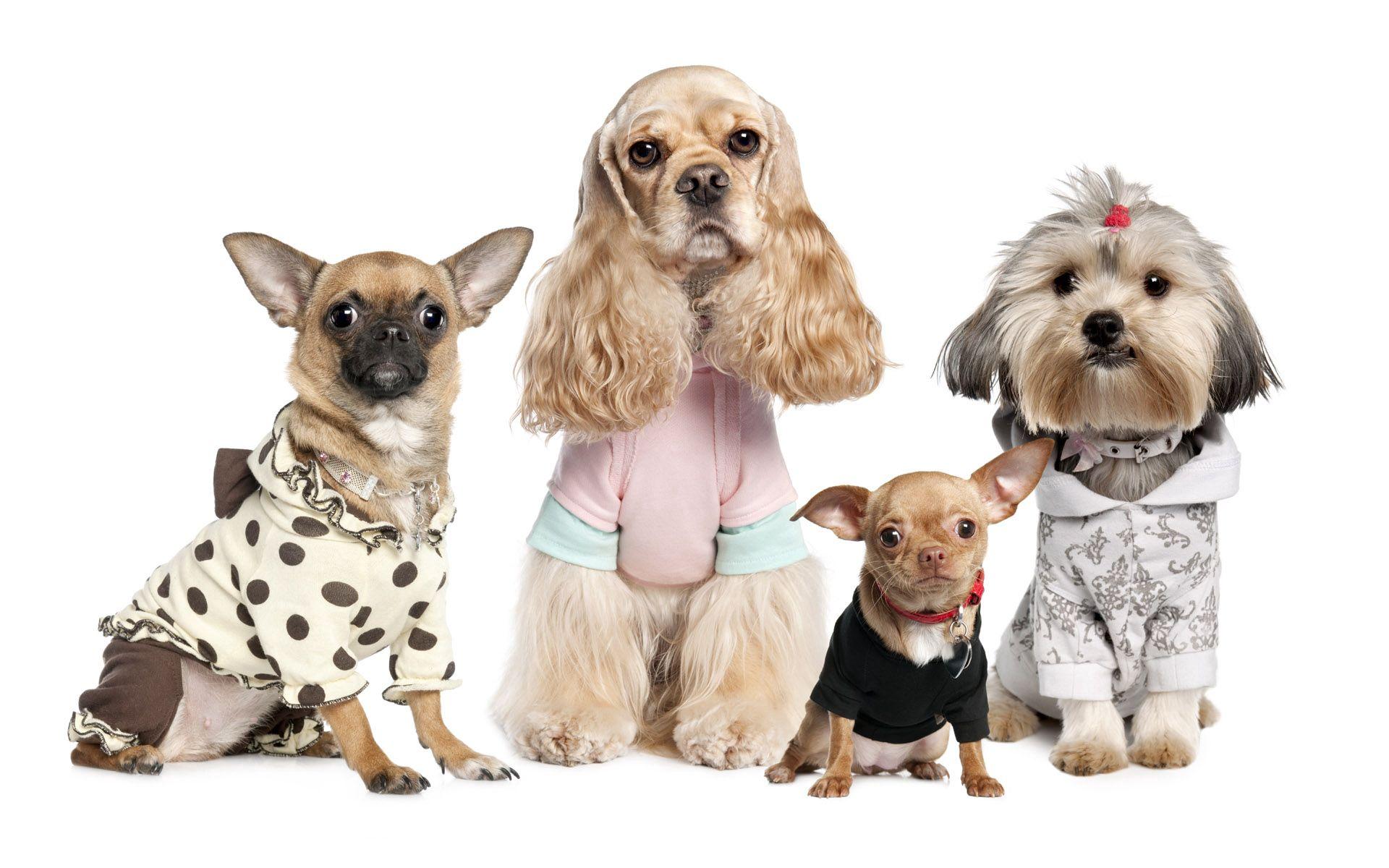 98673 descargar fondo de pantalla Animales, Perros, Variedades, Variedad, Yorkshire Terrier, Chihuahua, Disfraces, Trajes: protectores de pantalla e imágenes gratis
