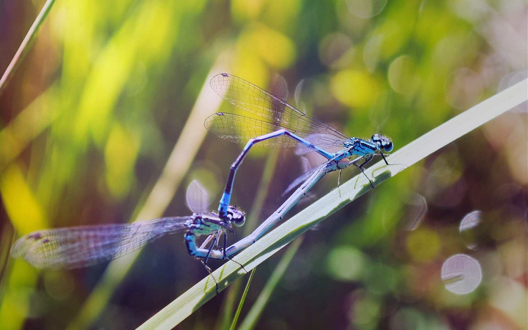 113003 download wallpaper Macro, Grass, Insects, Dragonflies screensavers and pictures for free