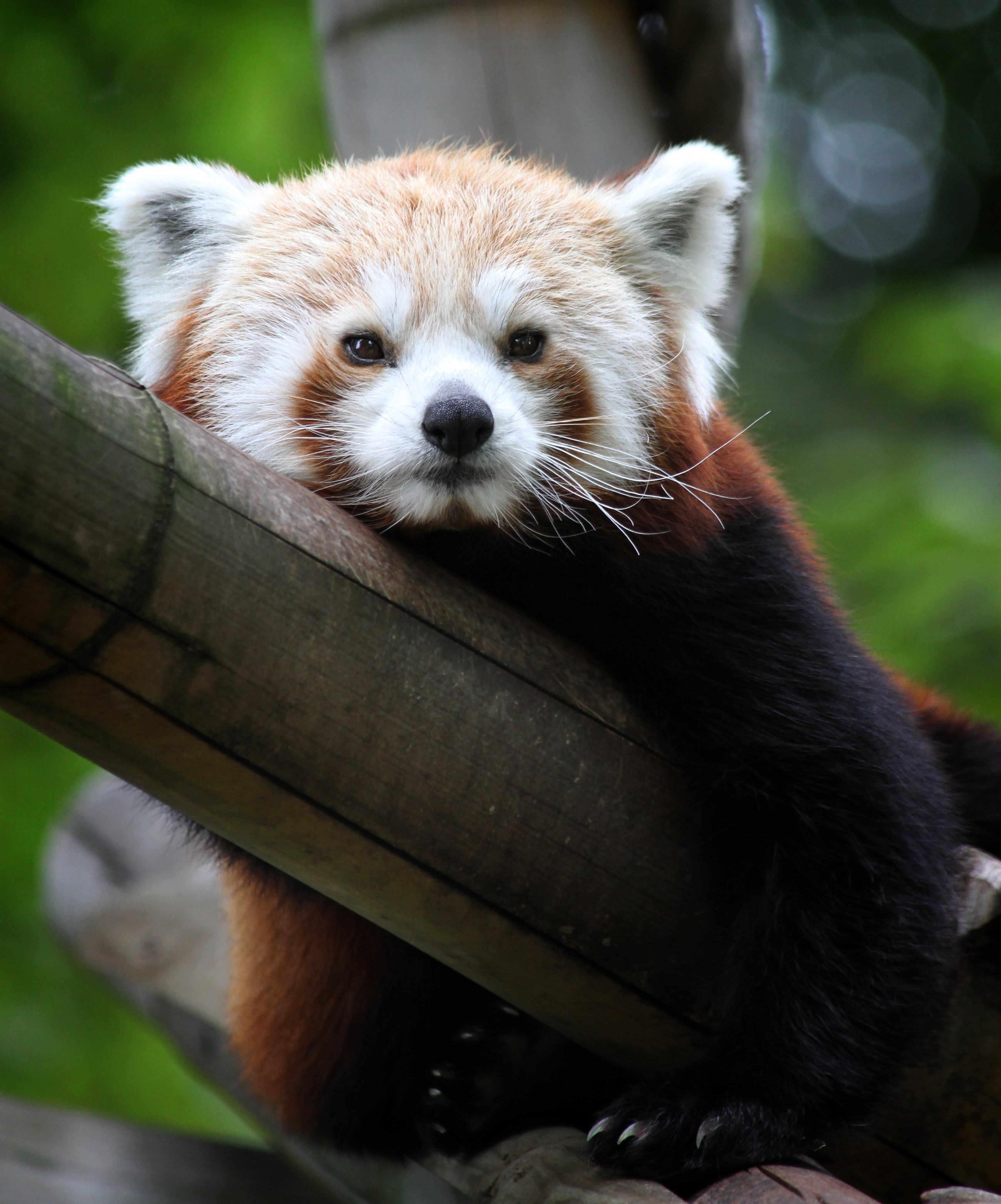 137684 download wallpaper Animals, Red Panda, Nice, Sweetheart, Muzzle, Bamboo screensavers and pictures for free