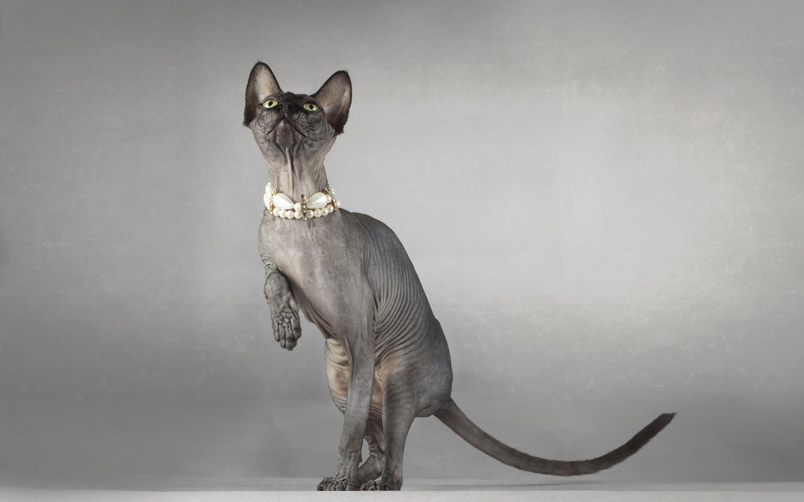 148733 download wallpaper Animals, Sphinx, Cat, Sight, Opinion, Playful, Collar screensavers and pictures for free