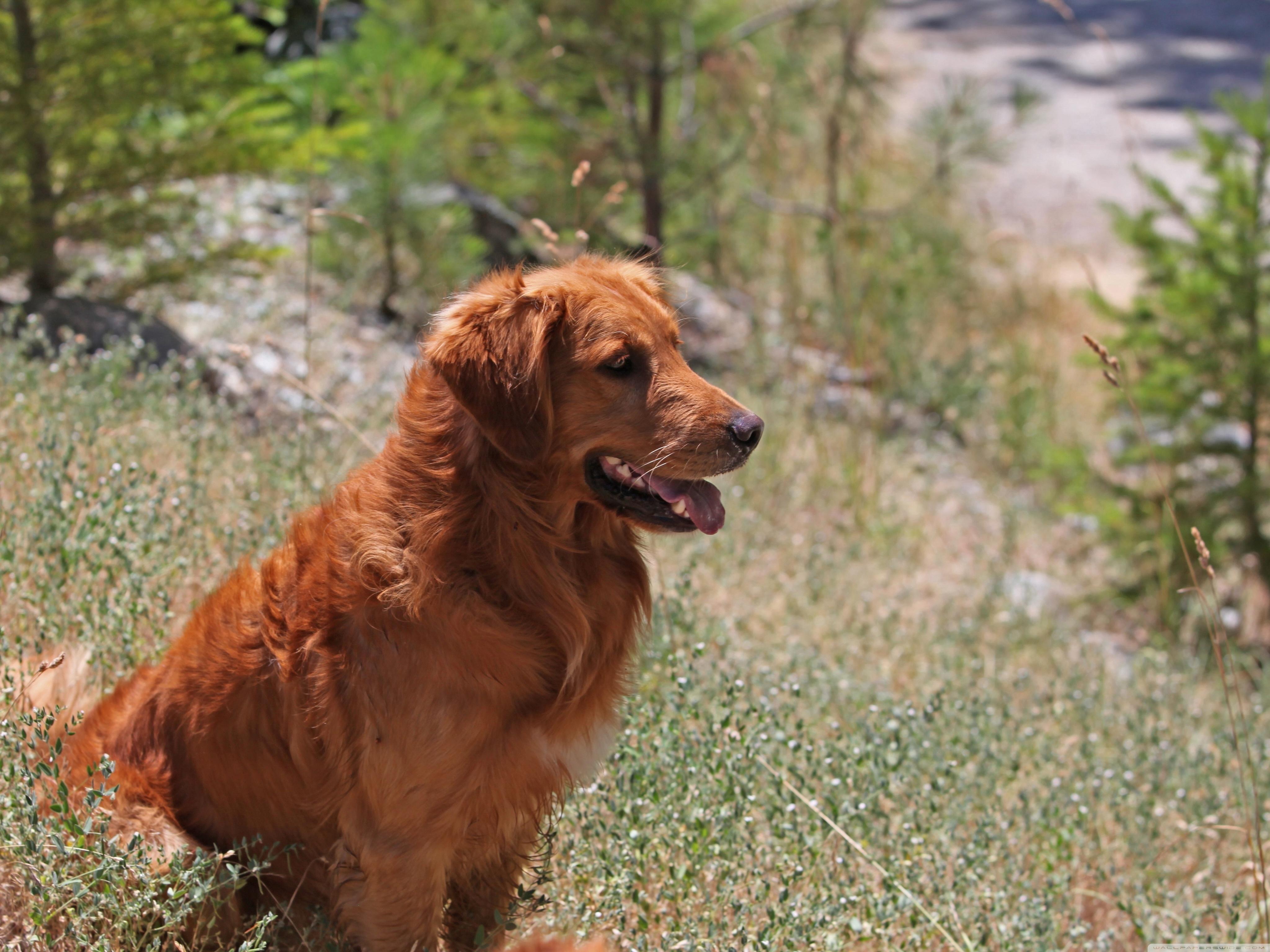 70053 скачать обои Животные, Собака, Трава, Ожидание, Сидеть - заставки и картинки бесплатно