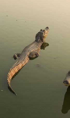 46049 baixar papel de parede Animais, Crocodiles - protetores de tela e imagens gratuitamente
