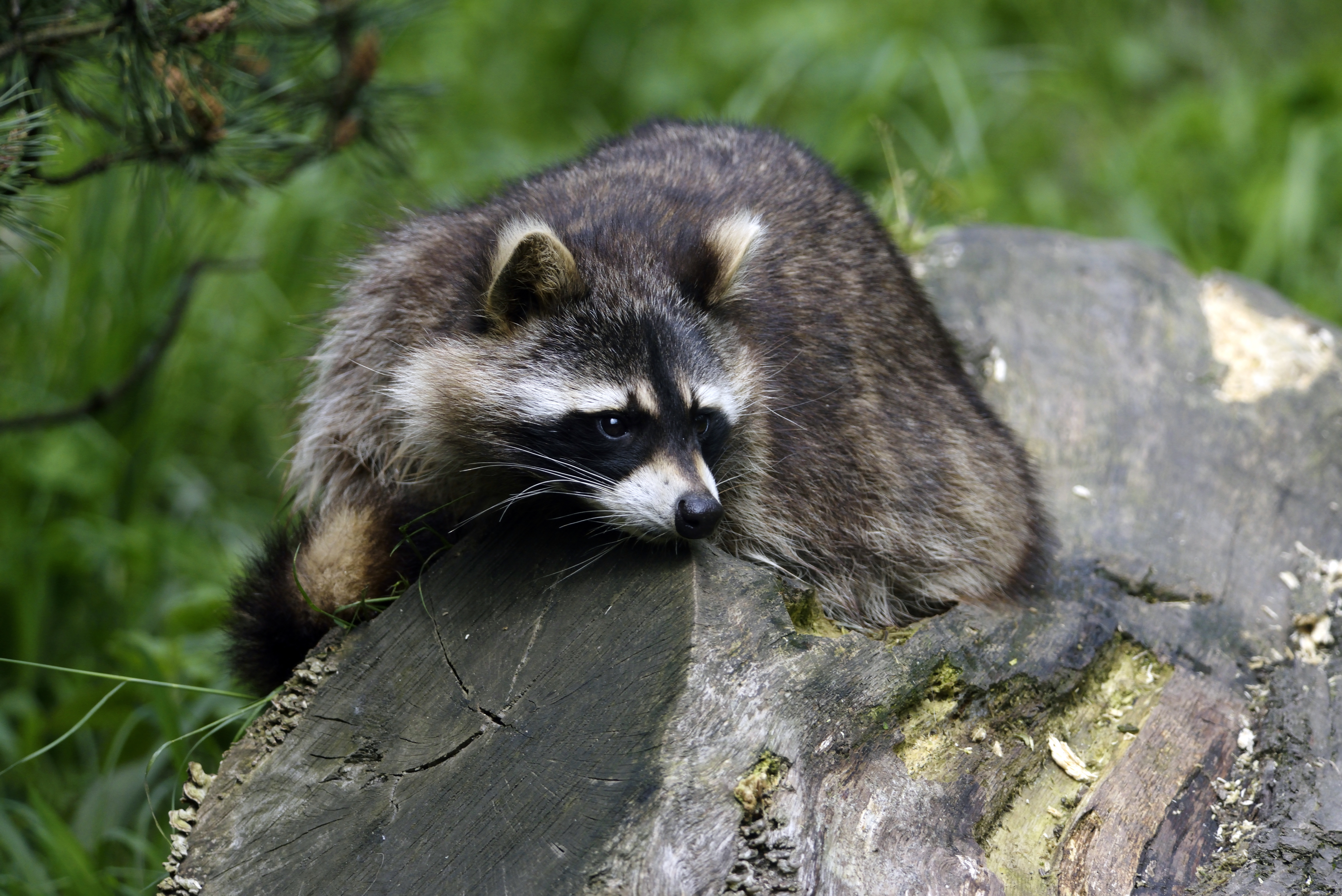 83930 Screensavers and Wallpapers Raccoon for phone. Download Animals, Lies, Striped, Raccoon pictures for free