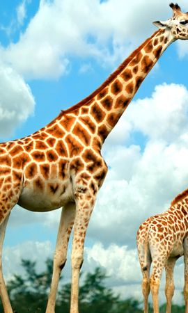 36874 download wallpaper Animals, Giraffes screensavers and pictures for free