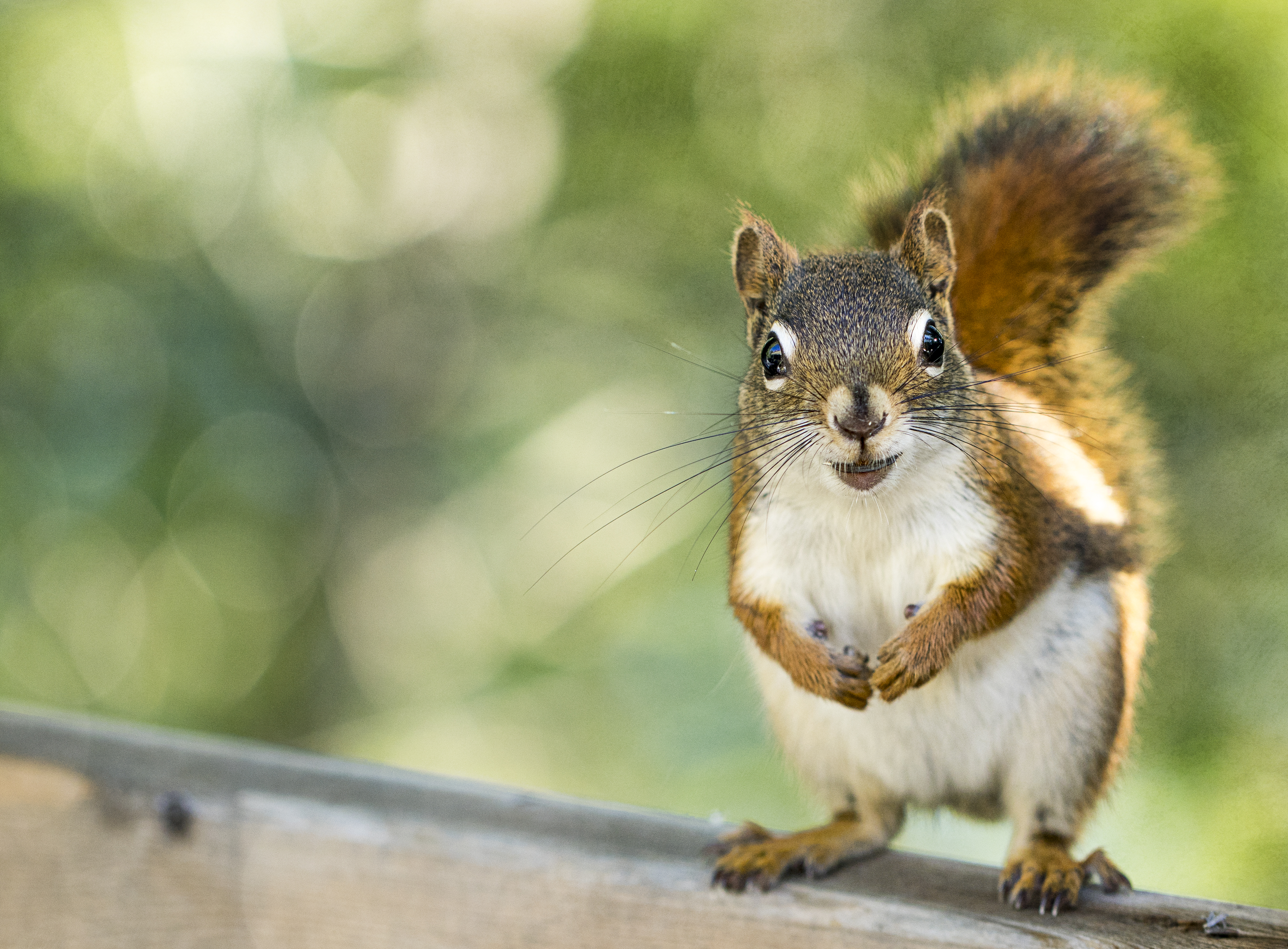 65409 download wallpaper Animals, Squirrel, Rodent, Animal, Sight, Opinion screensavers and pictures for free