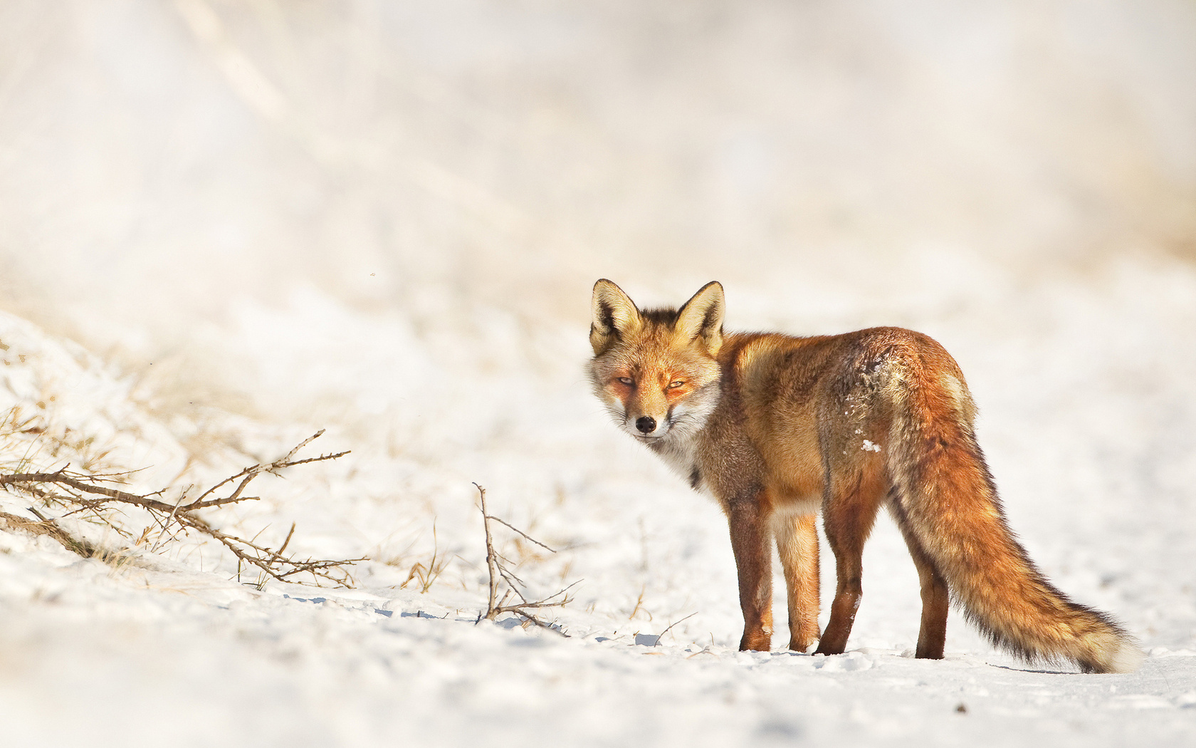 28280 download wallpaper Animals, Fox screensavers and pictures for free