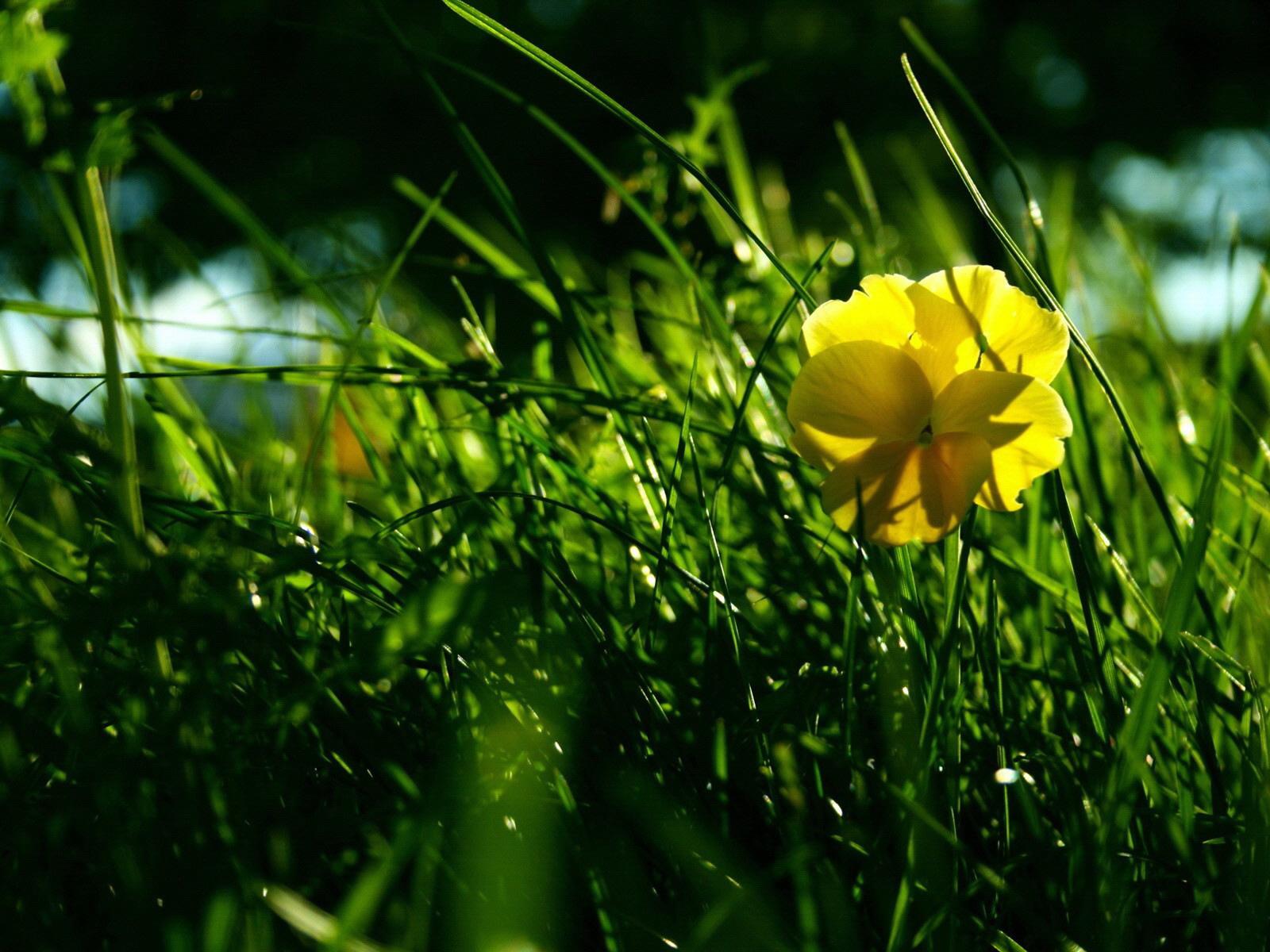 12325 скачать обои Растения, Цветы, Трава - заставки и картинки бесплатно