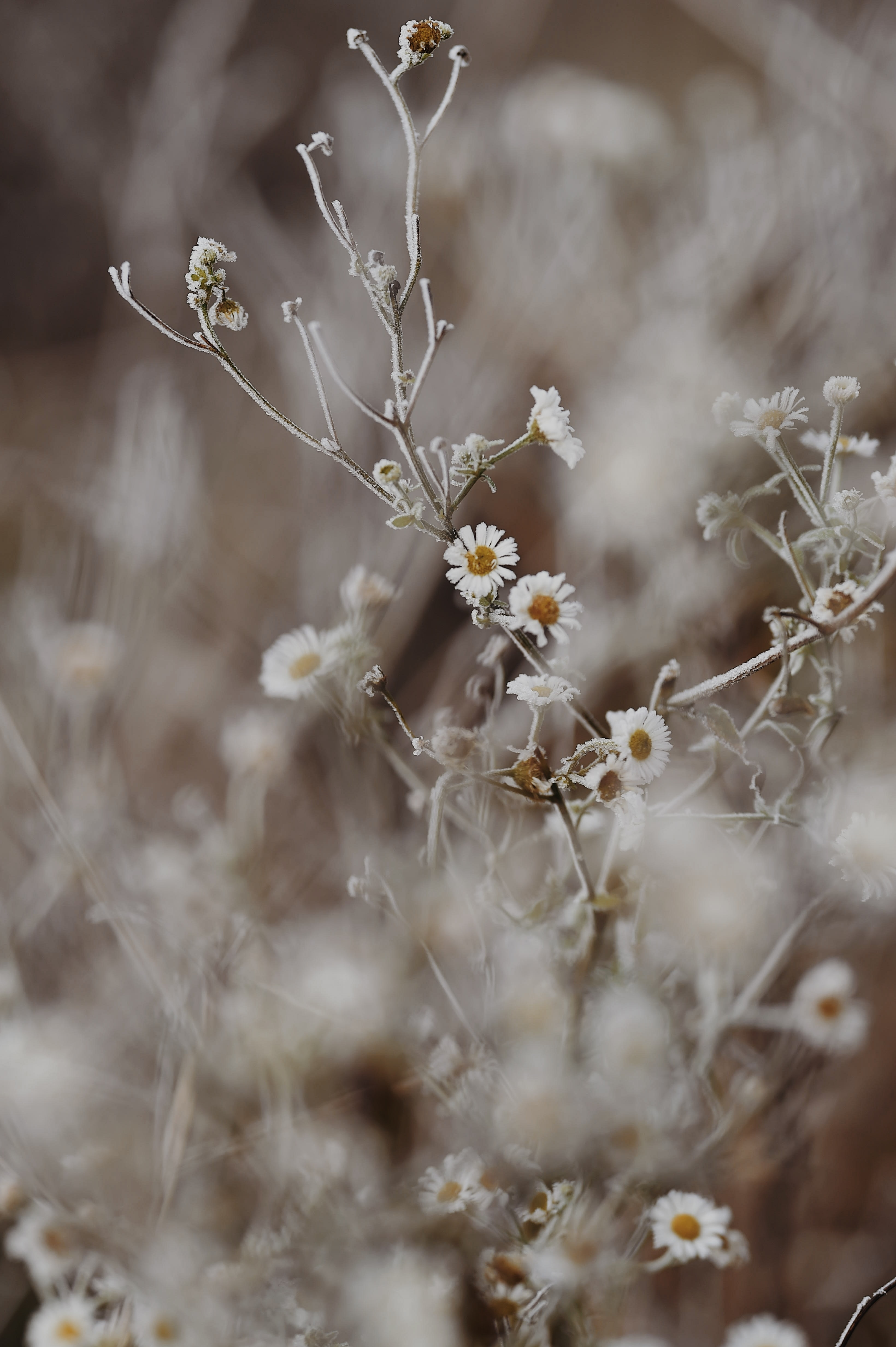 82898 Заставки и Обои Ромашки на телефон. Скачать Ромашки, Иней, Цветы, Растение, Макро картинки бесплатно